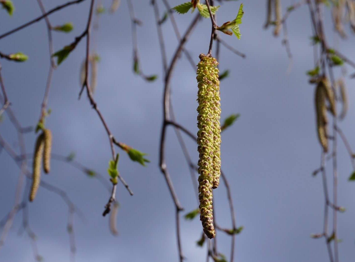 Das Bild zeigt die paarig angeordneten, hängenden männlichen Blütenkätzchen einer Birke im Müggelwald.