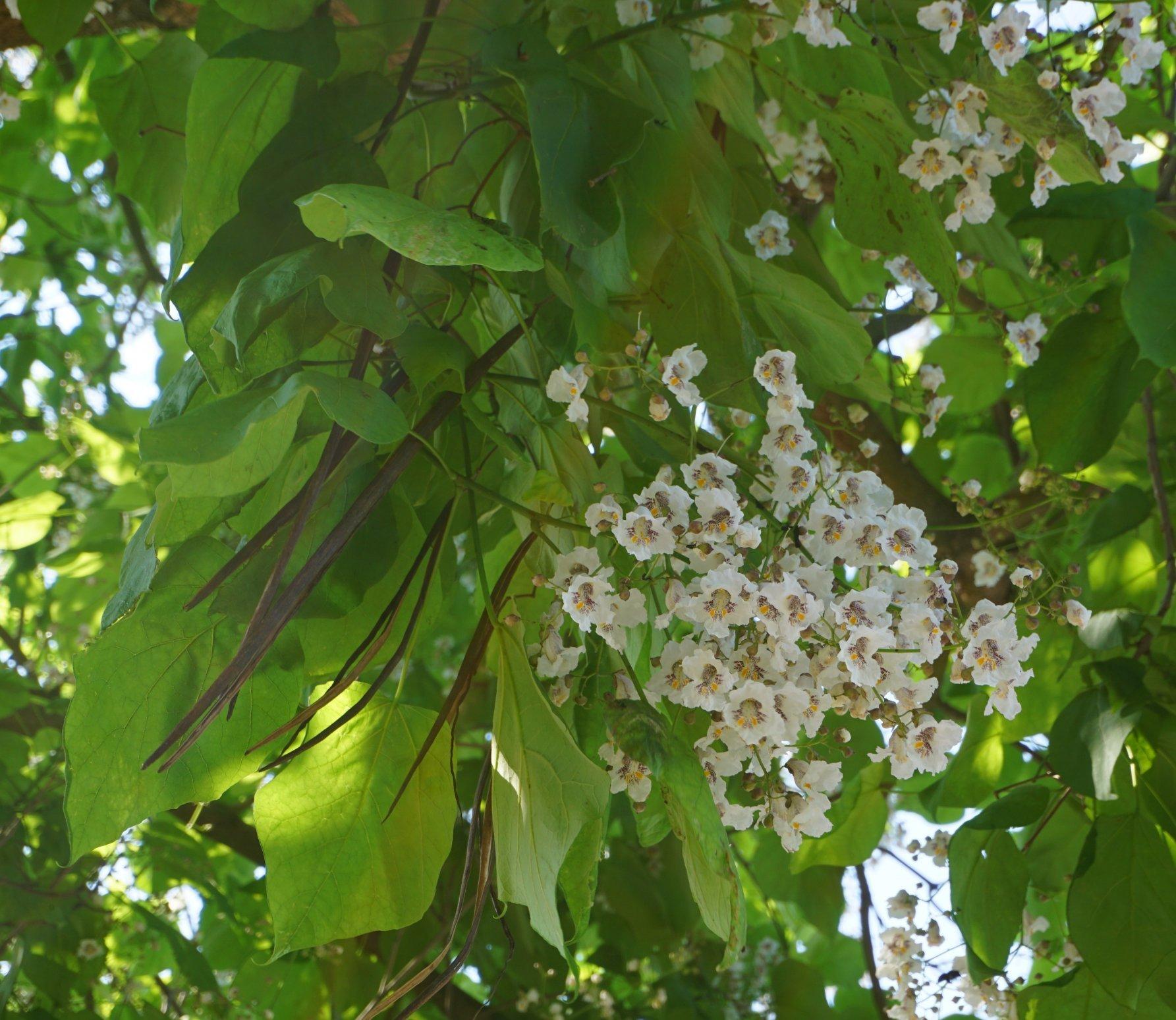 Das Bild zeigt die Juni-Blüten und alte Fruchthülsen des Vorjahres an einem Trompetenbaum an der Venusstraße im Kosmosviertel.