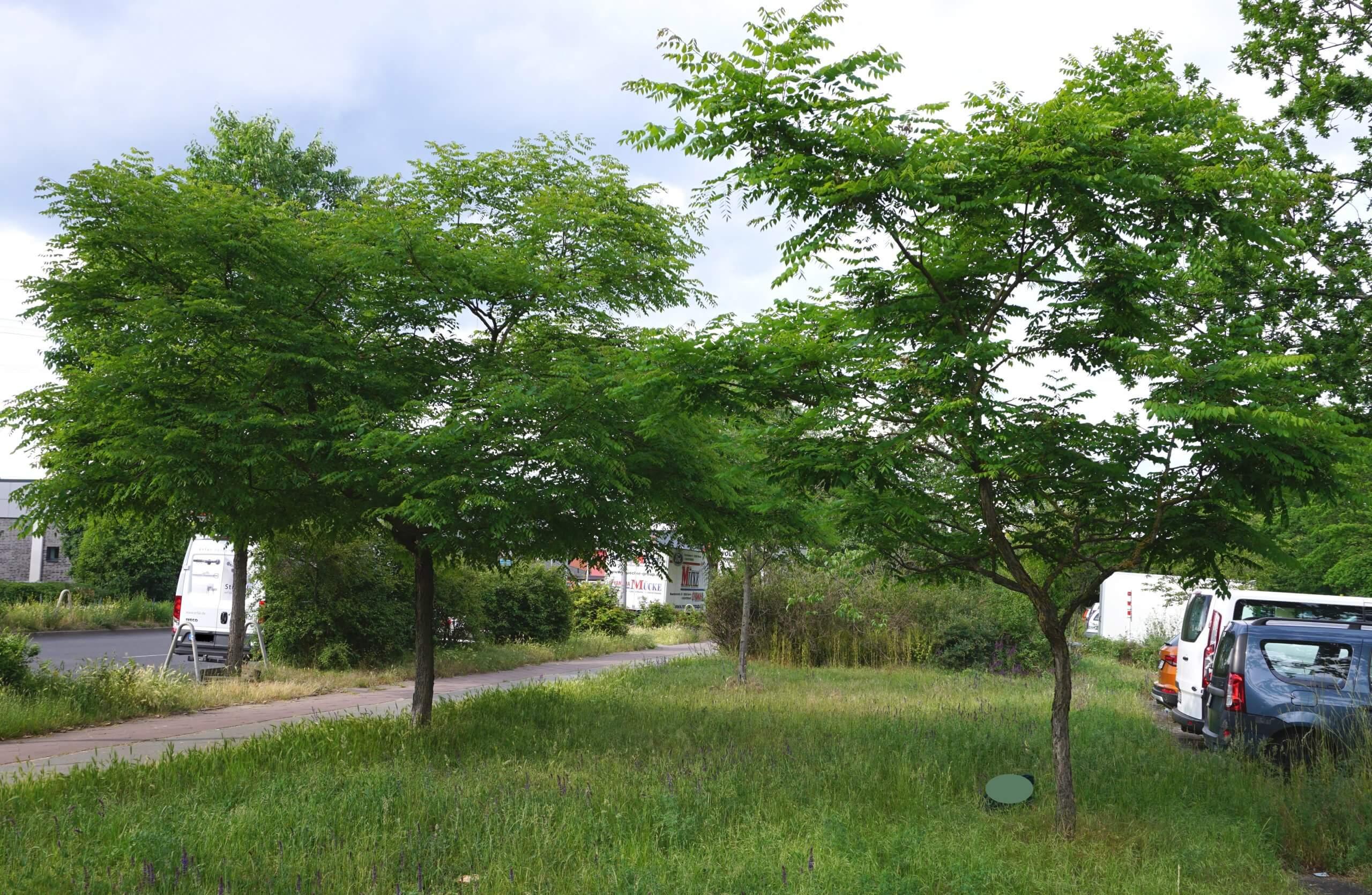 Das Bild zeigt zwei nah beieinander stehende kleine Exemplare des Kentucky-Geweihbaumes an der Schönefelder Chaussee im Kosmosviertel. Es handelt sich bei diesem zweihäusig auftretenden Baum um je ein Exemplar mit weiblichen und männlichen Blüten.