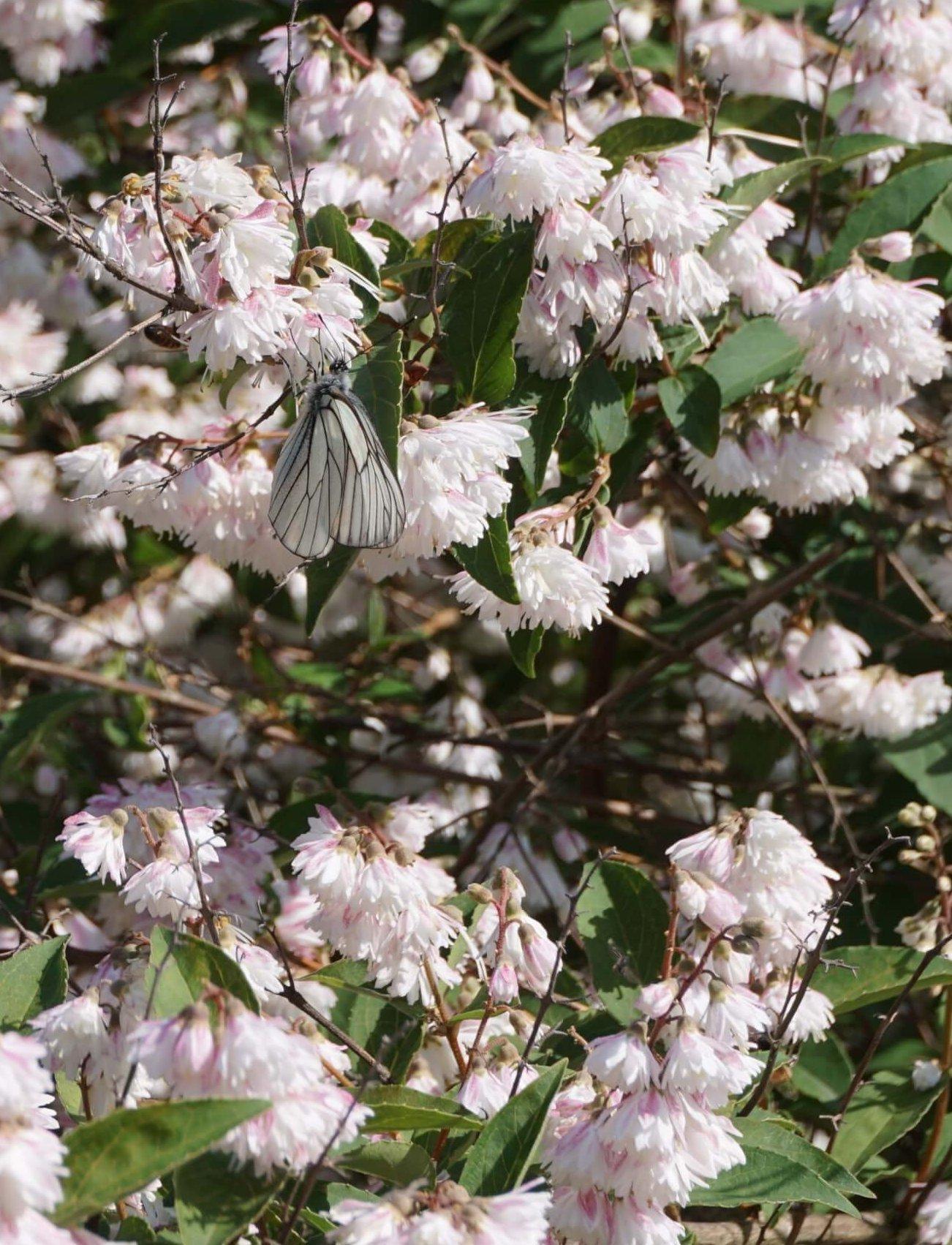 Das Bild zeigt die Blüten der Glocken-Deutzie mit einem Baum-Weißling, welcher zu den Schmetterlingen gehört.