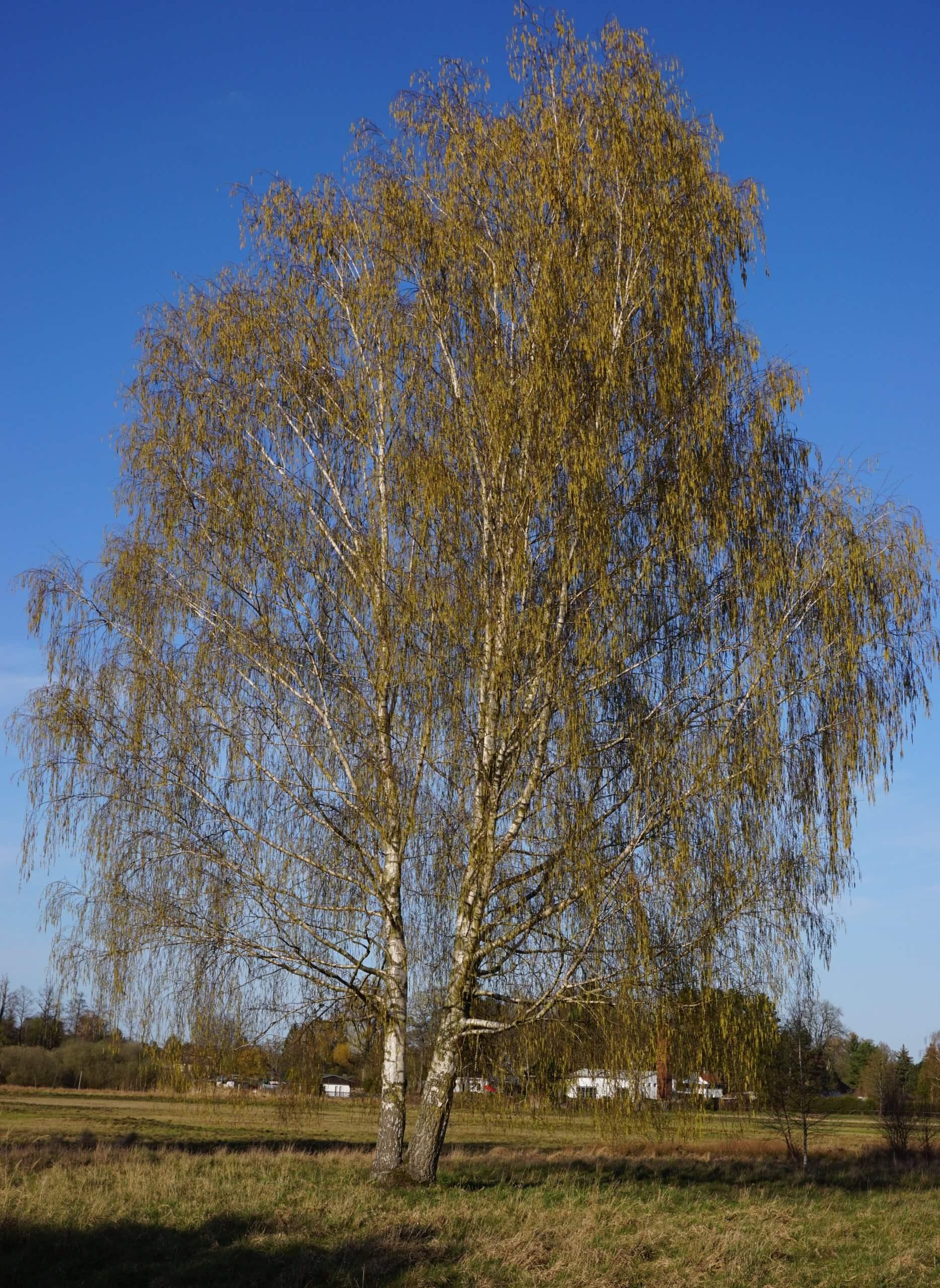 Das Bild zeigt zwei nah zueinander stehende Hänge-Birken in halbseitig voller Kronen-Entfaltung. Hier in den Spreewiesen bei Müggelheim.