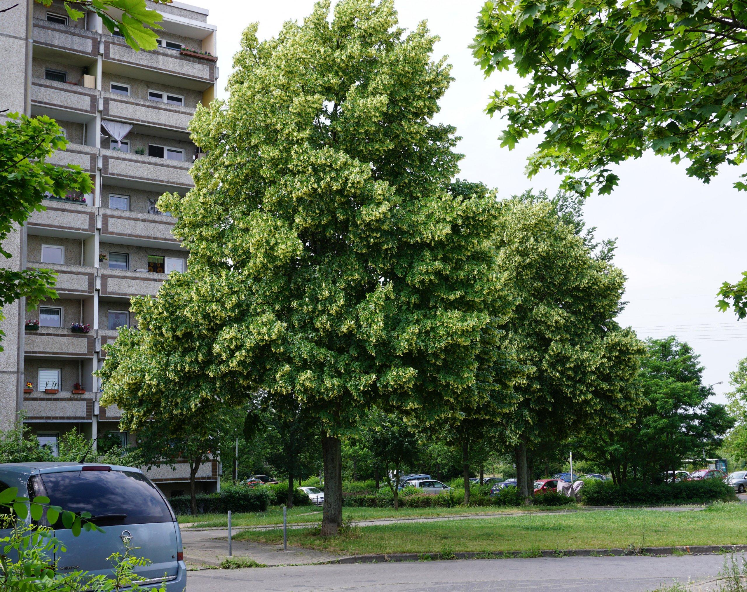 Das Bild zeigt zwei versetzt stehende Linden im Bereich der Siriusstraße im Kosmosviertel zur Blütezeit.
