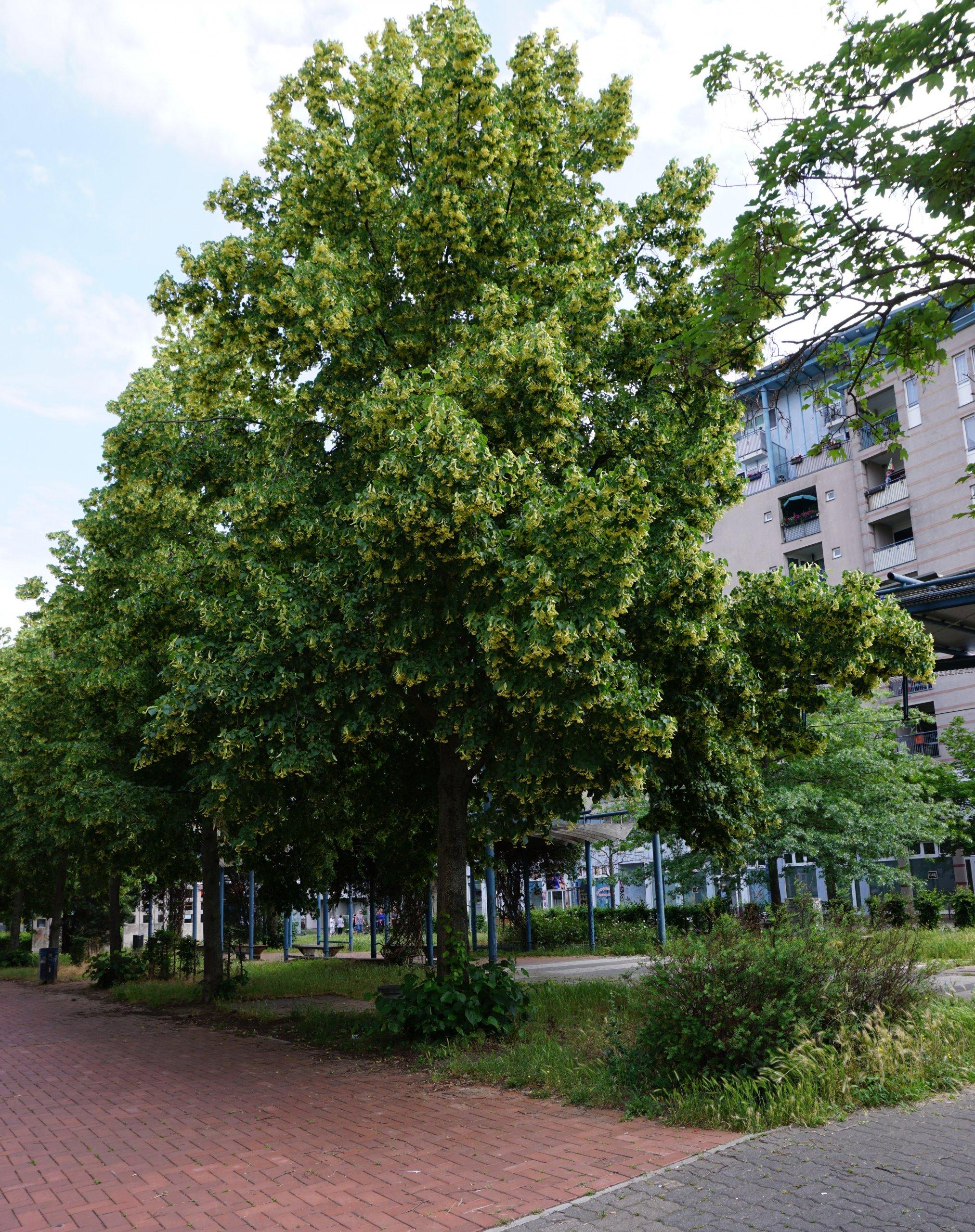 Das Bild zeigt in Reihe stehende Lindenbepflanzung in der zentralen Ladenpassage im Kosmosviertel als Teil der Bepflanzung des Grünzuges.