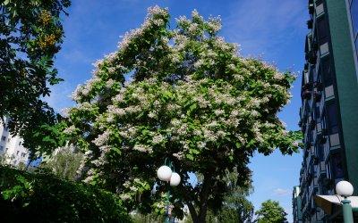 """Trompetenbaum – Blüte / Projekt """"Natur im Kosmosviertel"""""""