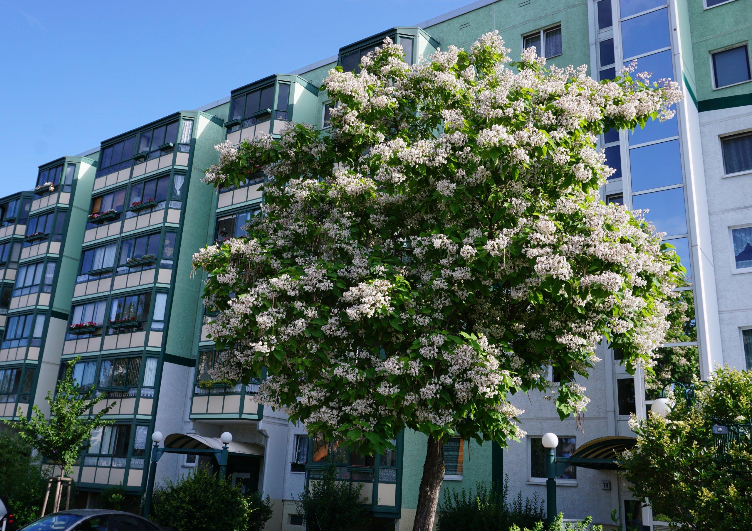 Das Bild zeigt die Krone eines Trompetenbaumes in voller Blüte am Ostende der Venusstraße im Kosmosviertel.