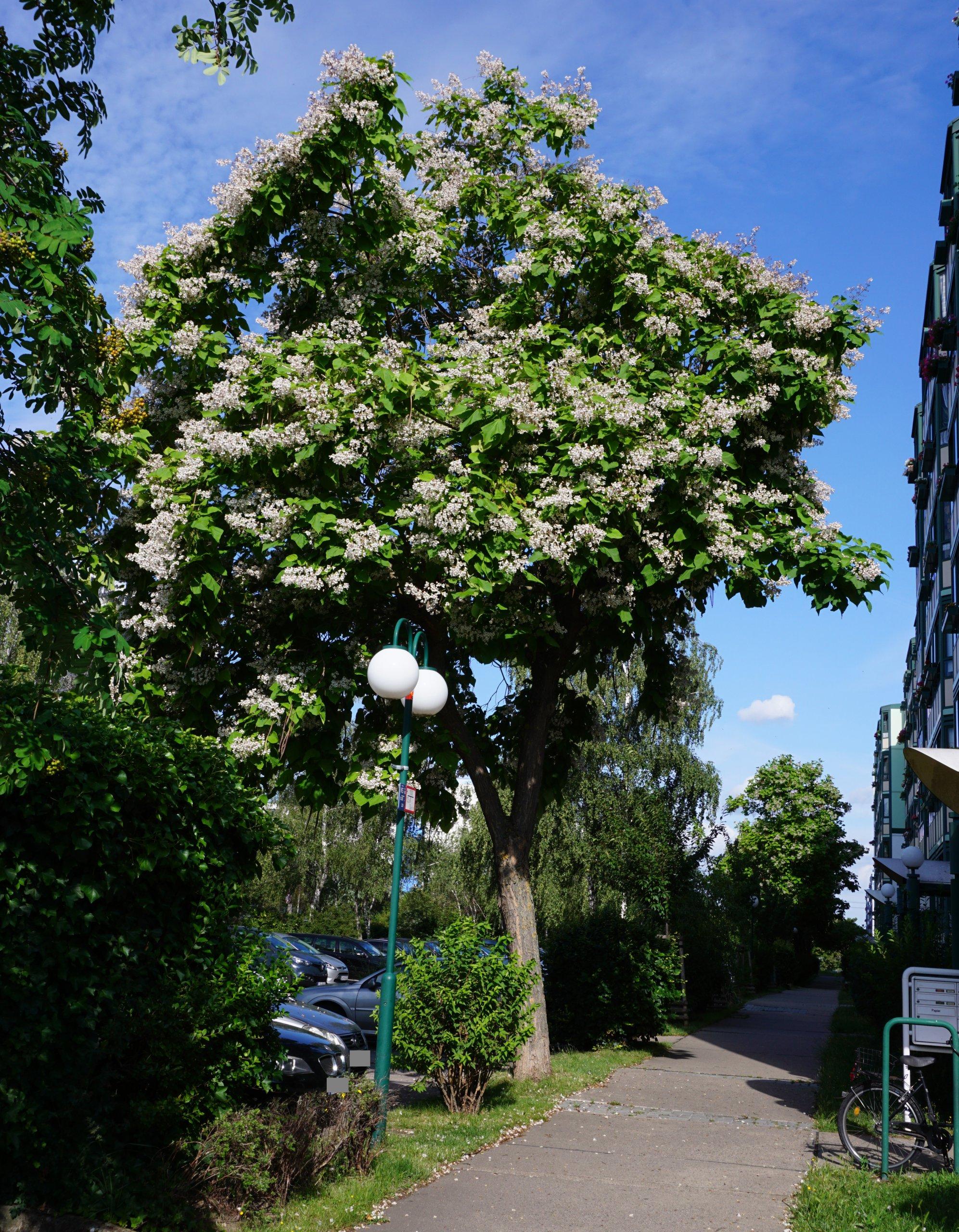 Das Bild zeigt einen Trompetenbaum in voller Blüte am Ostende der Venusstraße im Kosmosviertel.