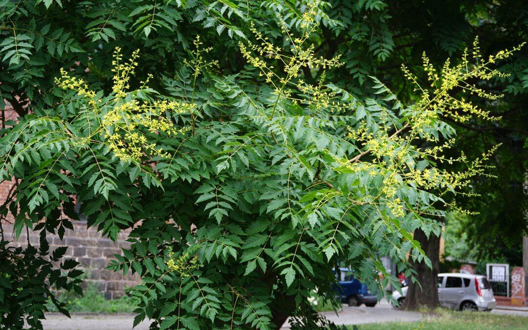 """Blasenesche (Rispiger Blasenbaum) / Projekt """"Natur im Kosmosviertel"""""""