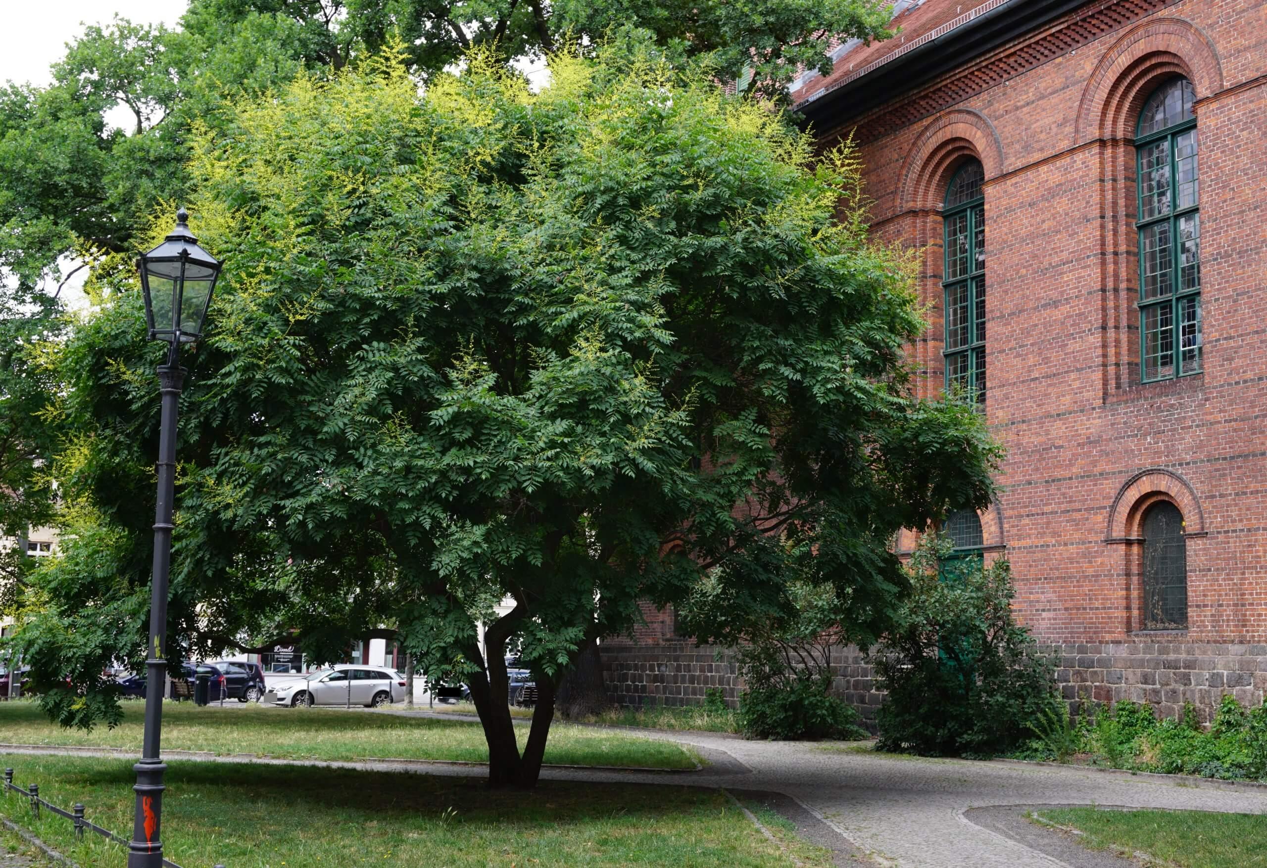 Das Bild zeigt ein gut gewachsenes, solitär stehendes Exemplar einer Blasenesche an der St. Laurentiuskirche in Alt-Köpenick.