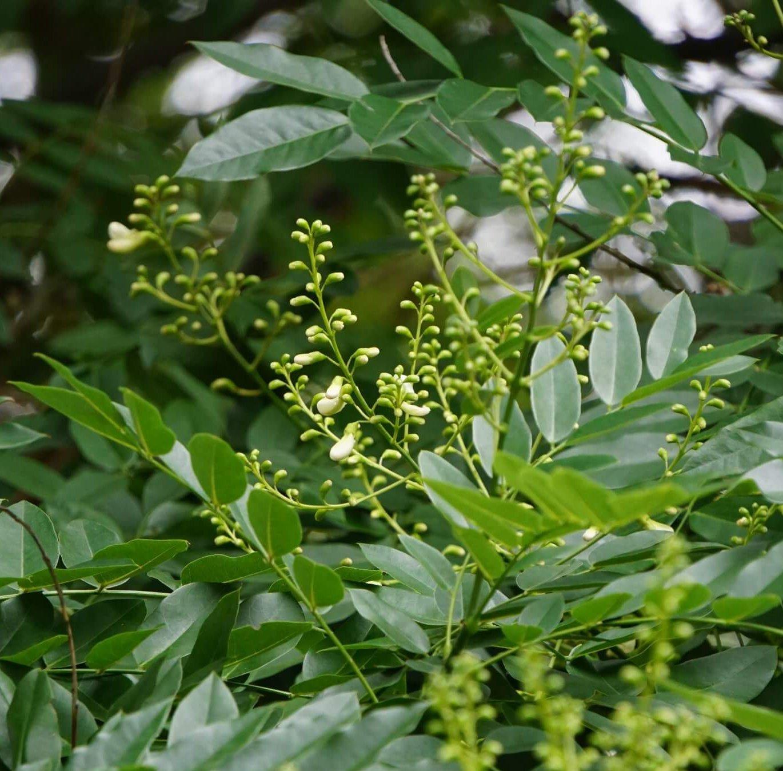 Das Bild zeigt die sich öffnenden Blüten in den Rispen des Schnurbaumes.