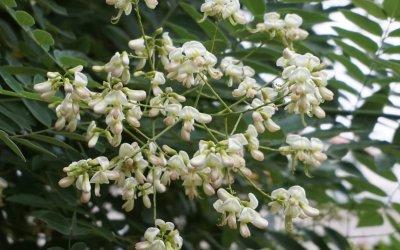 """Japanischer Schnurbaum (Pagodenbaum) / Projekt: """"Natur im Kosmosviertel"""""""