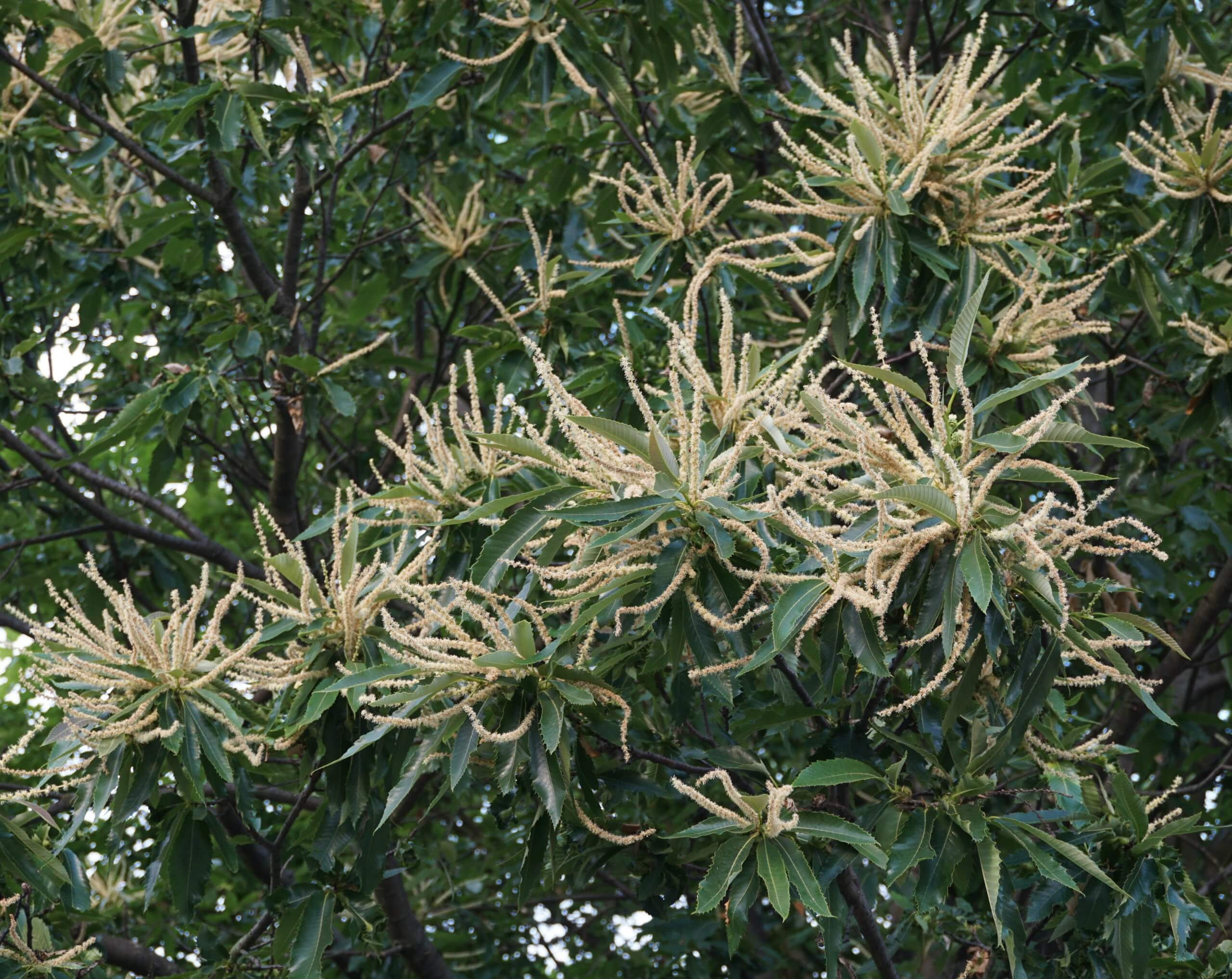 Das Bild zeigt die langen männlichen Blütenkätzchen im abgeblühtem Zustand an einer Edel-Kastanie in Marzahn-Hellersdorf. Die weiß-grünlichen bis hellbraunen Blütenstände, die strahlig an den Ast-Enden auseinanderstreben, geben dem Baum zur Blütezeit ein sehr dekoratives Aussehen.