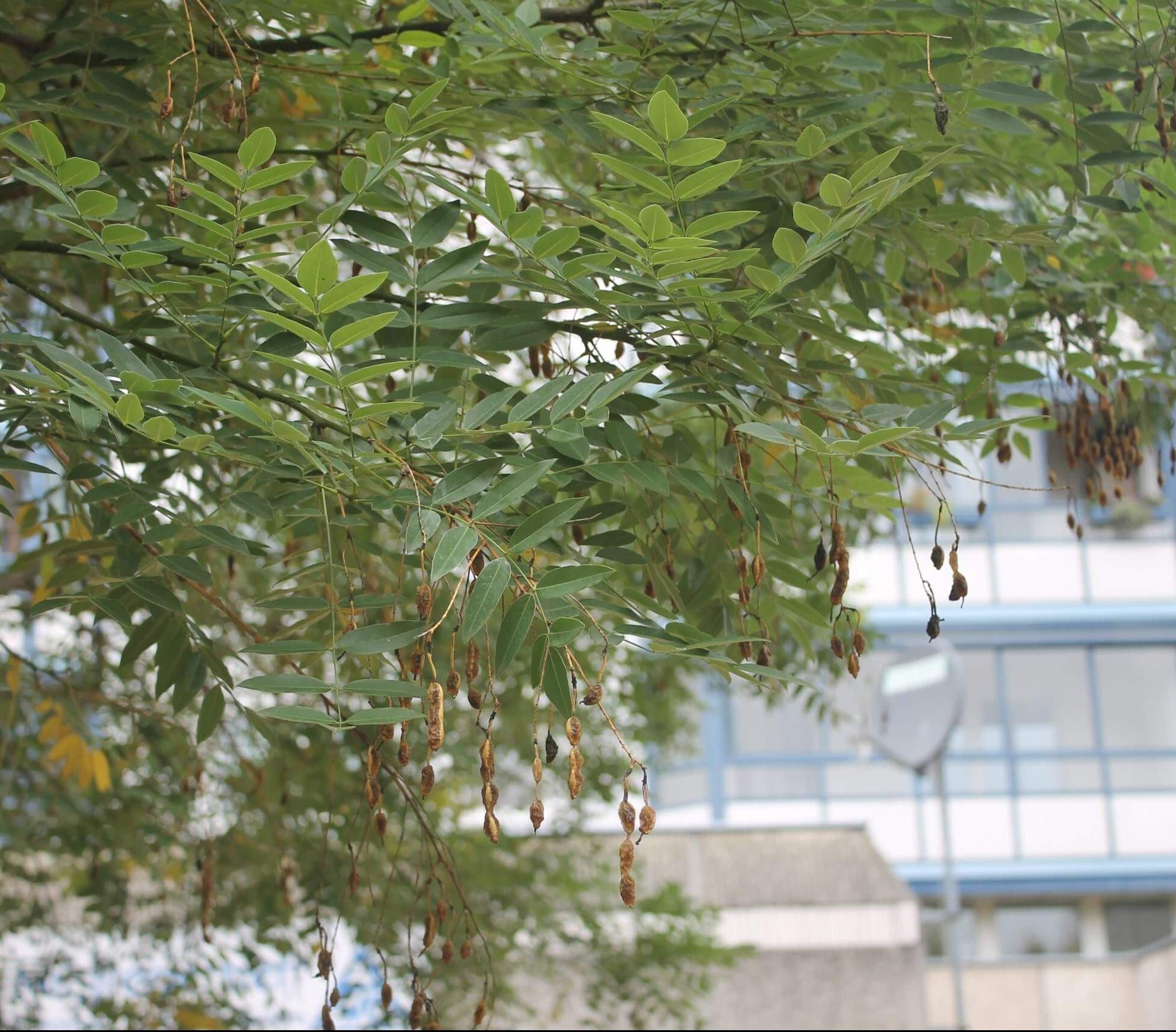 Das Bild zeigt die Gliederhülsen, die nach jedem Samen Einschnürungen zeigen. Sie kennzeichnen die Früchte des Japanischen Schnurbaumes. Sie erinnern auch an Formen von Pagoden in ihrer Aufeinanderfolge der erweiterten Samenkammern. Der Baum steht im zentralen Kosmosviertel.