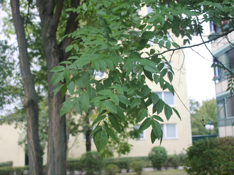 Das Bild zeigt die Fiederblätter eines Schnurbaumes mit seitlich gegenständig ansitzenden Fiederblättchen. Der Baum steht im Kosmosviertel.
