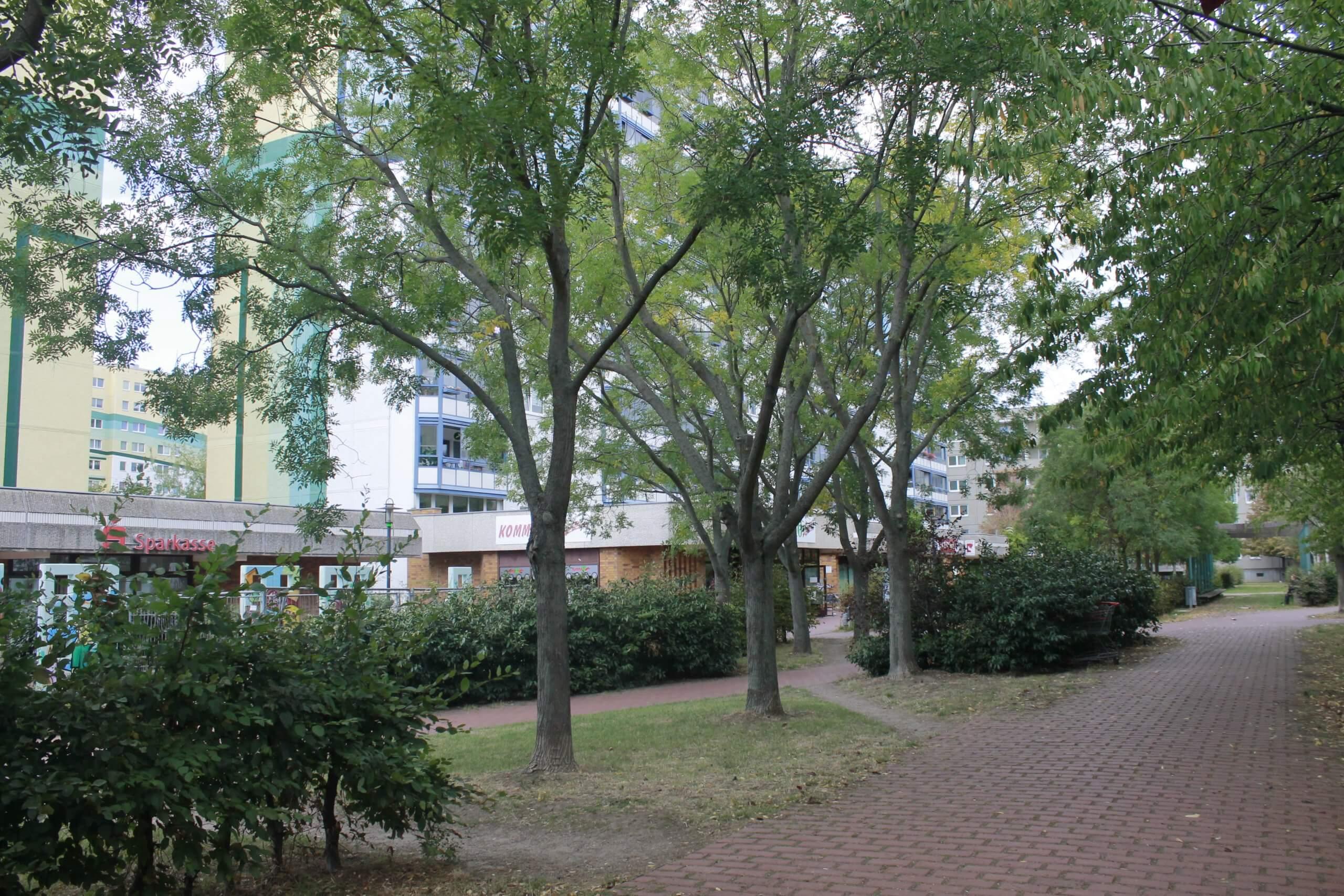 Das Bild zeigt in Reihe gepflanzte Schnurbäume im zentralen Grünzug des Kosmosviertels. Sie dienen hier als Wegbeschattung.