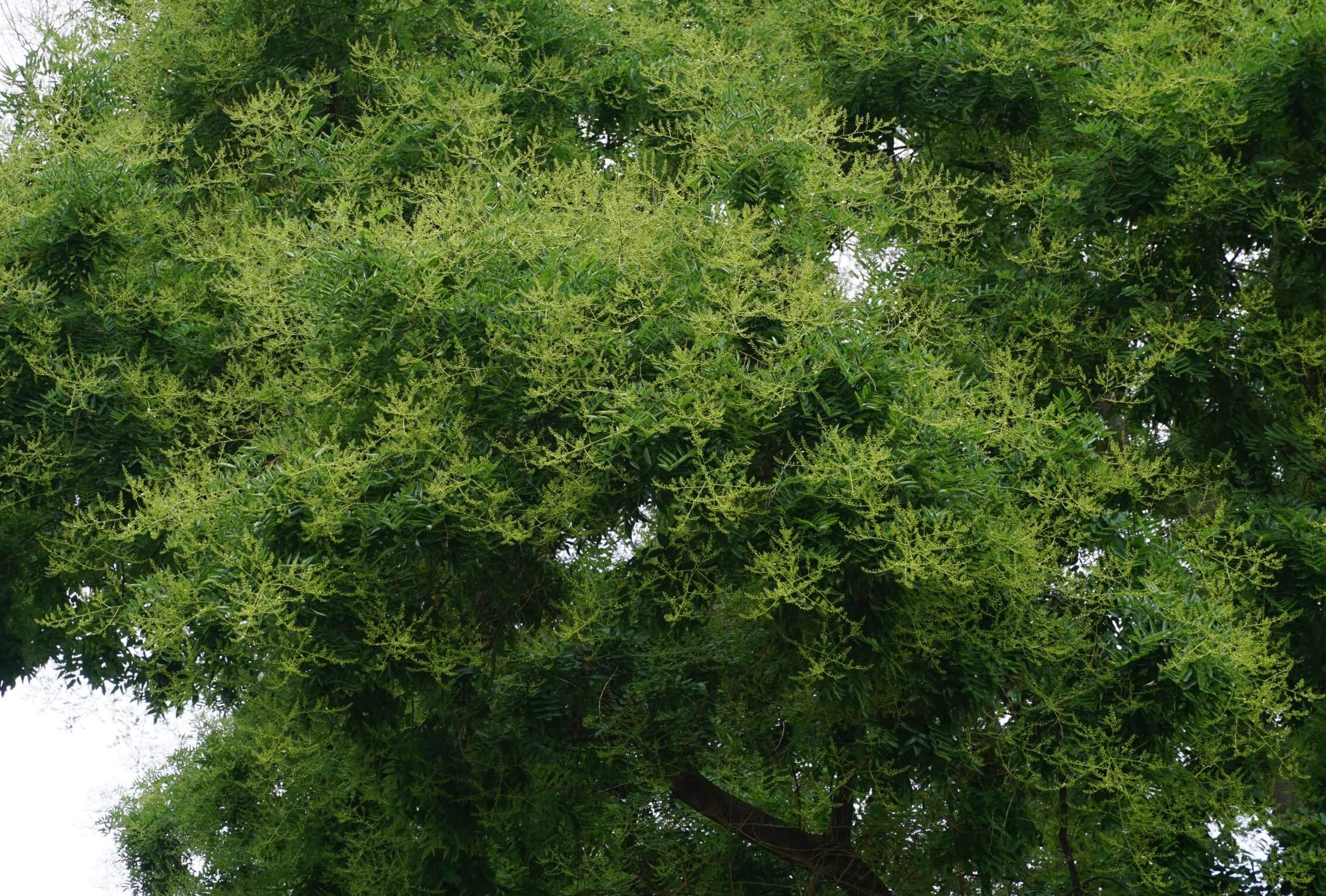 Das Bild zeigt einen Ausschnitt aus der Krone eines Schnurbaumes mit zahlreichen Blütenrispen und noch geschlossenen Blüten. Der Baum steht unweit des Rathauses Köpenick.