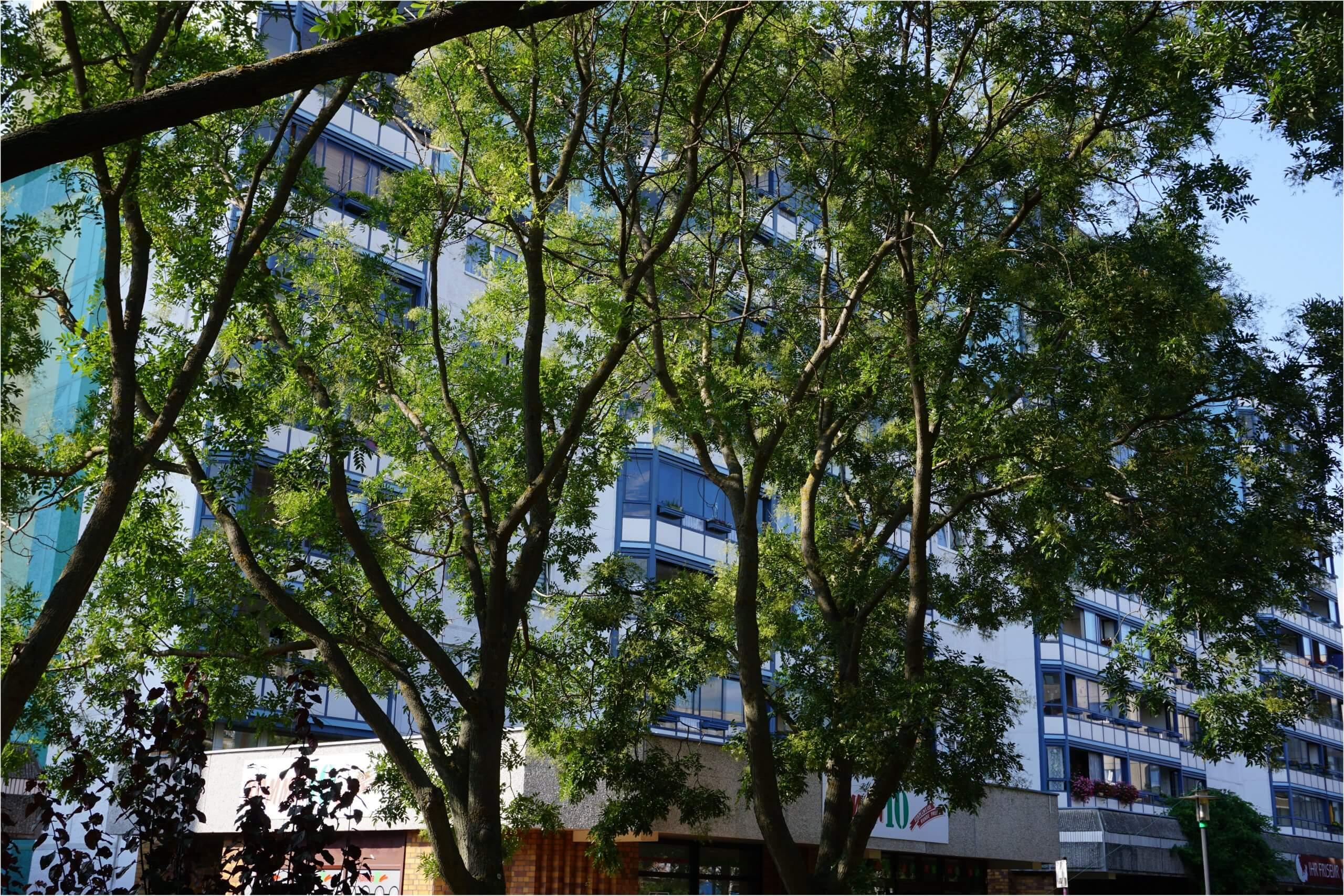 Das Bild zeigt Japanische Schnurbäume in der zentralen Geschäftszeile des Kosmosviertels. Sie sind gärtnerische Bestandteile aus der ersten Phase der Begrünung des Kosmosviertels und Teil des zentralen Grünzuges. Die Steil aufrecht stehenden Äste und Unterstämme sind ein Kennzeichen dieser Bäume.
