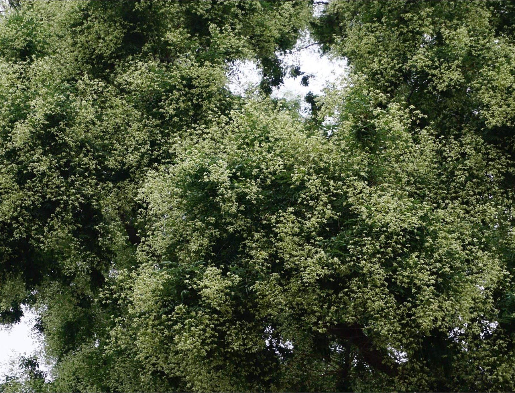 Das Bild zeigt einen Ausschnitt aus der Krone eines Schnurbaumes mit zahlreichen Blütenrispen und cremeweißen Blüten. Der Baum steht unweit des Rathauses Köpenick.