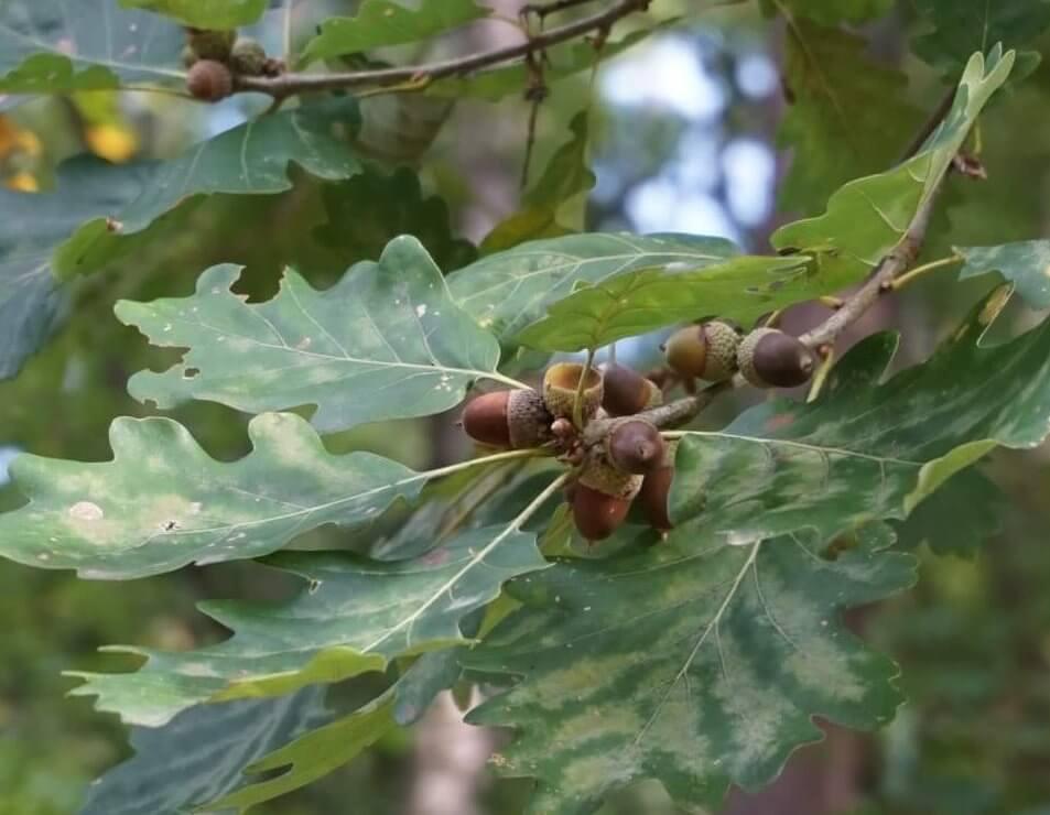 Das Bild zeigt die traubig-dicht angeordneten Eichel-Früchte an einer Trauben-Eiche in der Nähe der Auffahrt zum Müggelturm. Die Eicheln hängen im Gegensatz zur Stiel-Eiche an kurzen Stielen.