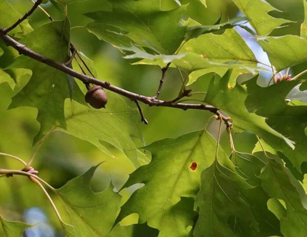 Das Bild zeigt eine einzelne Eichelfrucht im Blattwerk einer Rot-Eiche an einem Forstweg nördlich der Kanonenberge im Müggelberggebiet. Die Eicheln der aus Nordamerika stammenden Rot-Eiche sind größer vom Durchmesser als die der heimischen Eichen, jedoch in den Proportionen gedrungener.