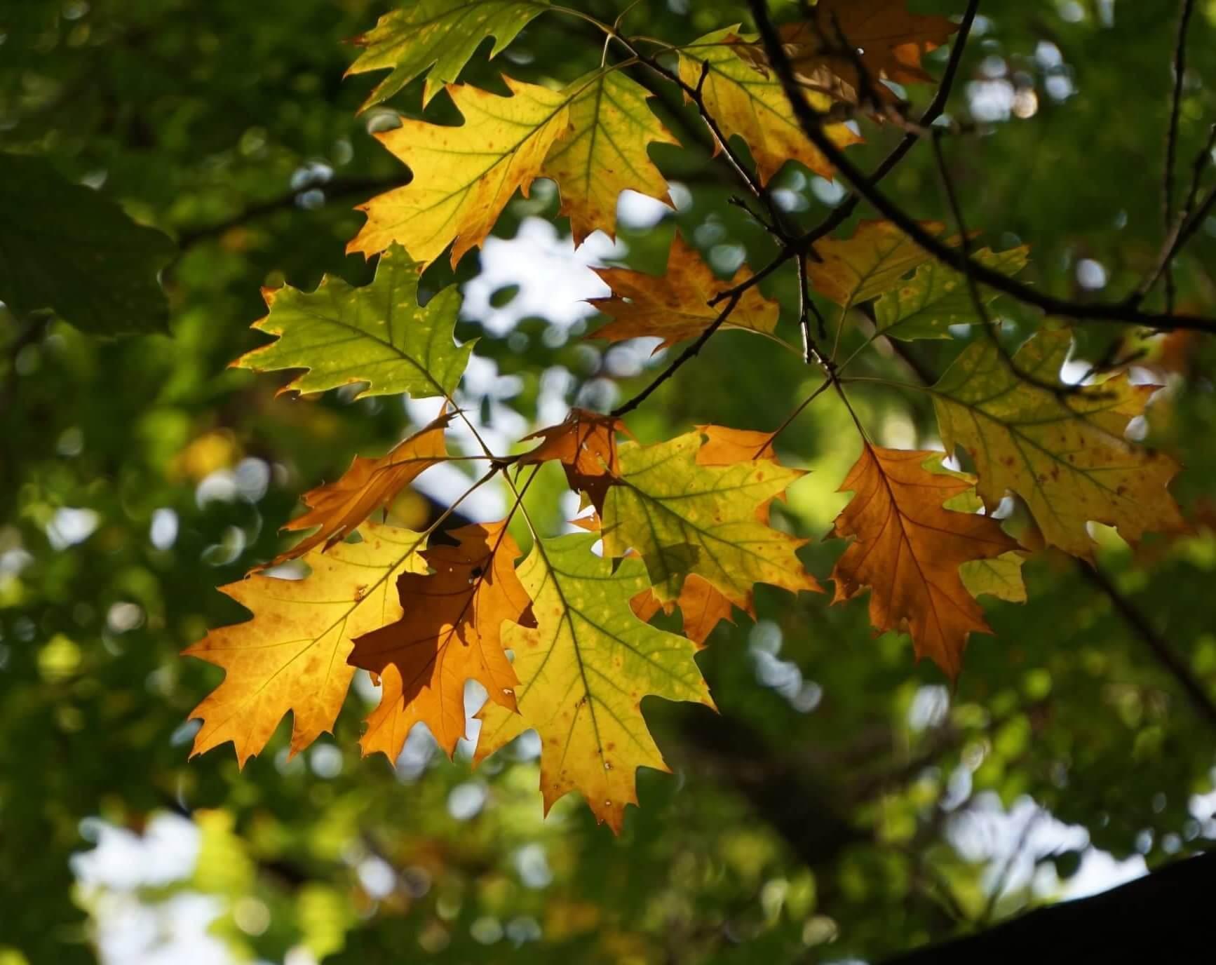 Das Bild zeigt die Blätter einer Rot-Eiche im Gegenlicht Ende September. An ihnen zeigen sich gut die Stufen der Herbstverfärbung, wobei die ursprünglich sommergrünen Blätter sich durch den Abbau des grünen Farbstoffs Chlorophyll und die Bildung von Karotinen zunächst gelb verfärben, um bei einer anschließenden Trocknung dann braun-orange zu werden. Hier an einem Exemplar am oberen Hangbereich der Müggelberge.