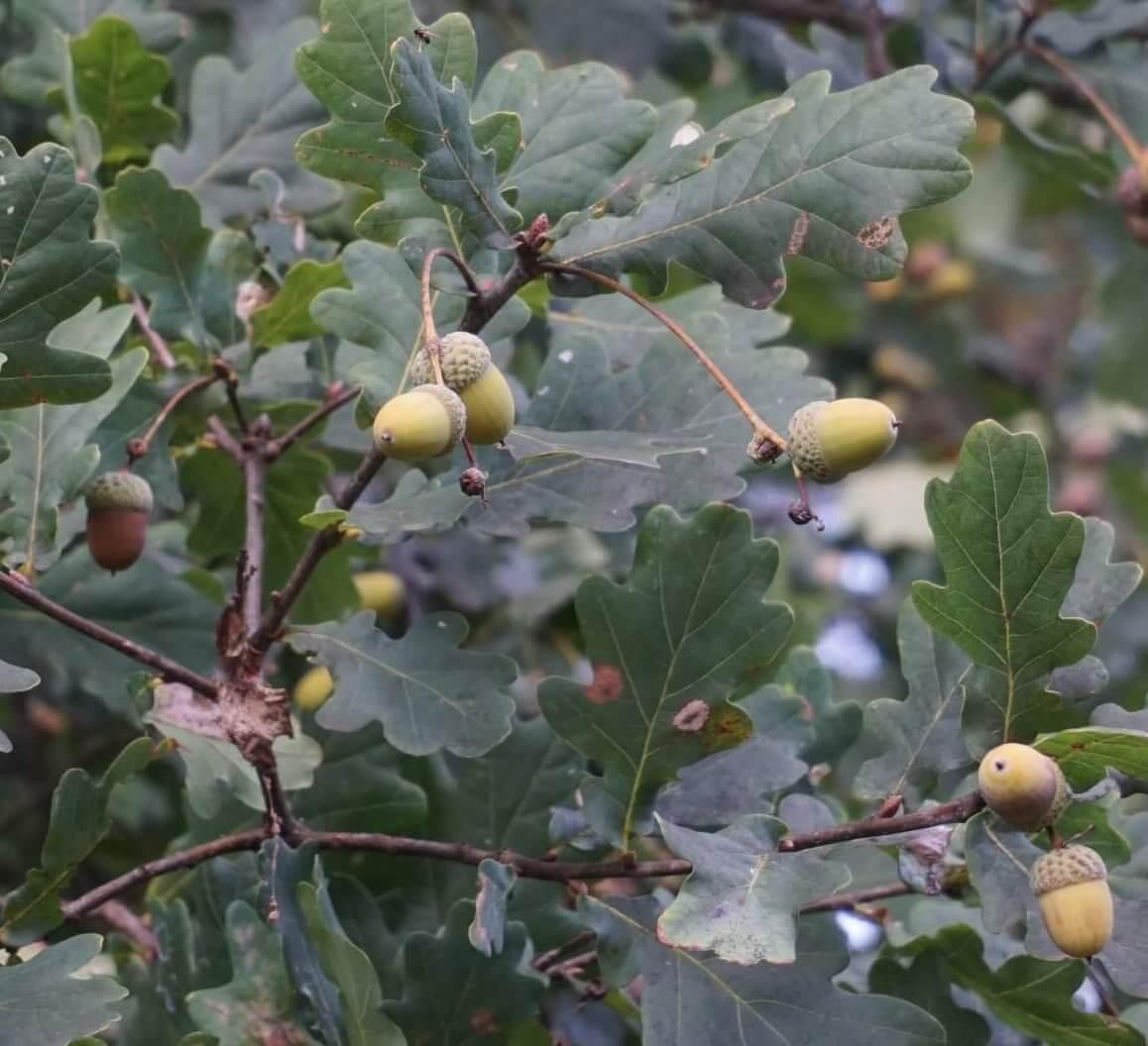 Das Bild zeigt die Eichel-Früchte der Stiel-Eiche, die an langen Stielen hängen. Eine genetisch annähernd reine Stiel-Eiche weist dabei nur eine Eichel pro Stiel auf. Die Aufnahme entstand an einem Exemplar westlich der Ortschaft Müggelheim.