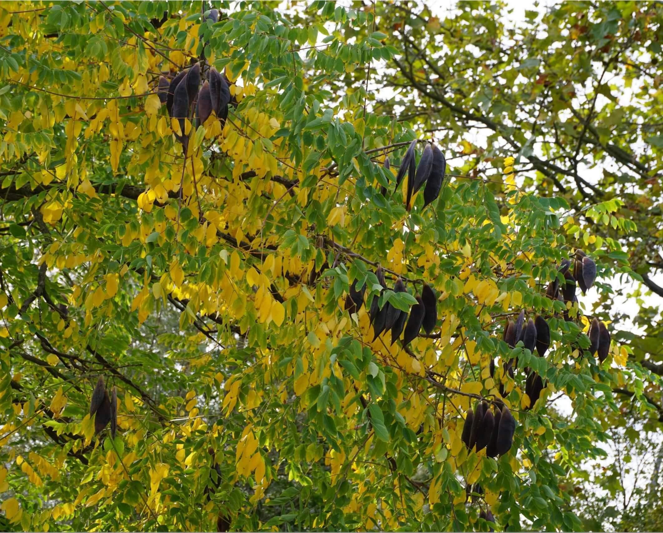 Das Bild zeigt die dunkelbraunen, recht großen Fruchthülsen in der Krone des Geweihbaumes im Herbst, die sich vom gelbgrünen Laub abheben. Sie erinnern an die in den Ästen von Bäumen hängenden Flughunde Neuguineas. Das Foto entstand an einem weiblichen Exemplar an der Schönefelder Chaussee im Kosmosviertel.