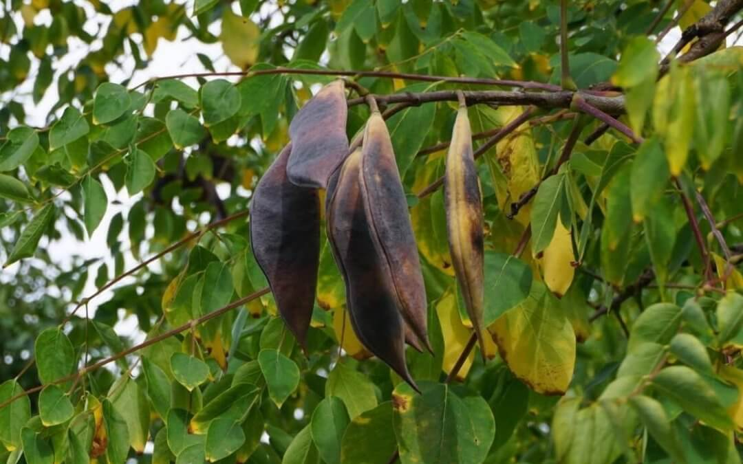 Das Bild zeigt die Fruchthülsen des Geweihbaumes. Sie sind recht groß, in ihrer Form flach und breit. Die Enden tragen eine Spitze, die jedoch stumpf ist. Die Oberflächen der Hülsen sind ledrig, ihre Farbe ist zur Herbstreife dunkelbraun. Auffällige Kanten, die Ähnlichkeit mit Nähten haben, trennen zwei Hülsenhälften, die beim Aufplatzen die Samen freigeben.