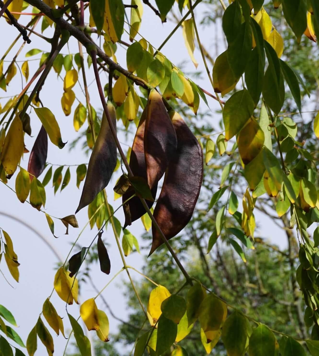 Das Bild zeigt die großen Fruchthülsen des mit der Gleditschie verwandten Geweihbaumes. Sie sind im Gegensatz zur ersteren kürzer, jedoch breiter. Bei beiden Bäumen der Johannisbrotgewächse sind die ledrigen Hülsen jedoch deutlich abgeflacht. Sie enthalten mehrere Samen.