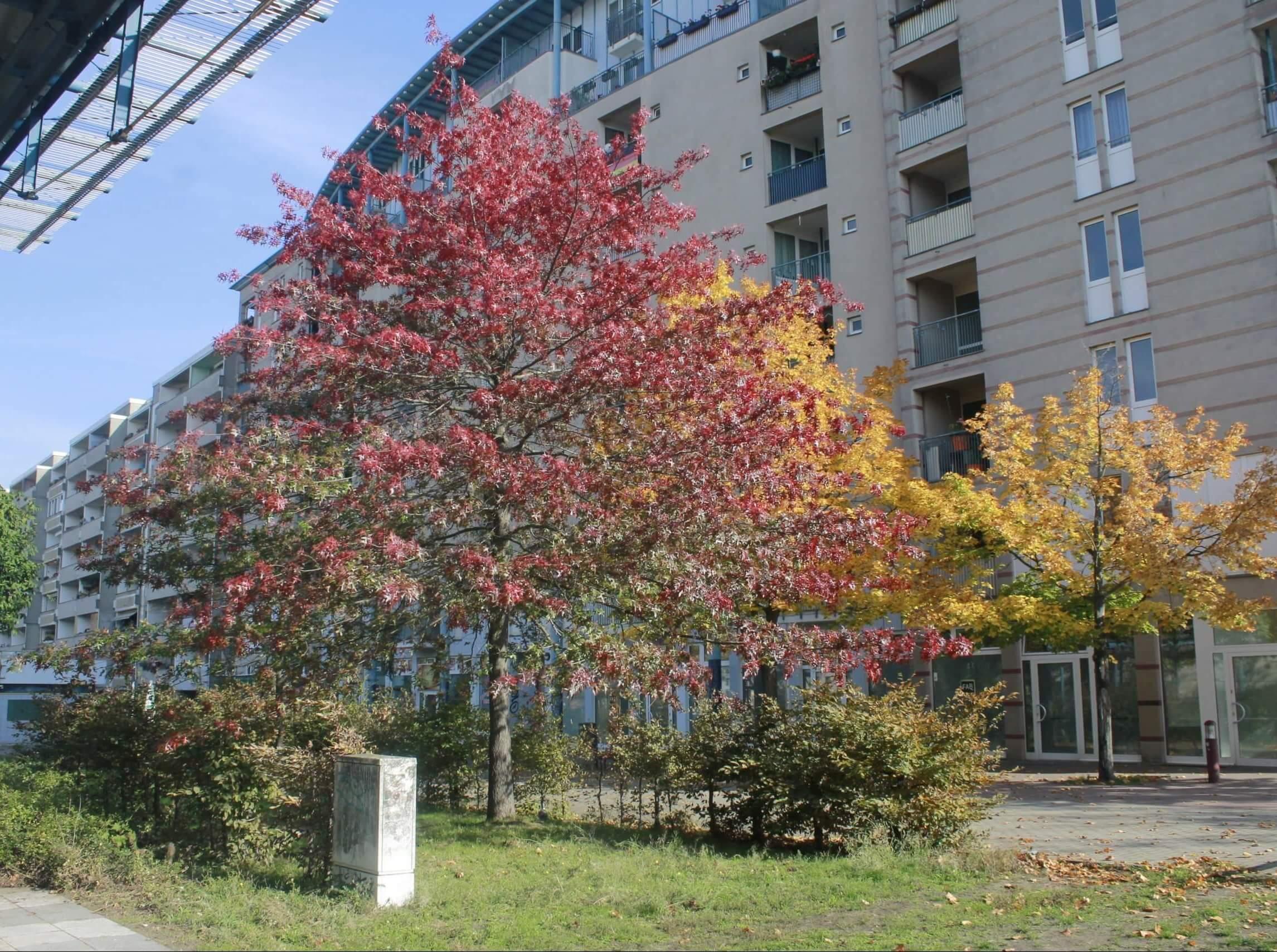 Das Bild zeigt ein solitär stehendes Exemplar einer Scharlach-Eiche im zentralen Grünzug des Kosmosviertels (Altglienicke-Süd). Intensiv scharlachrot gefärbtes geben diesen Bäumen eine sehr dekorative Erscheinung.