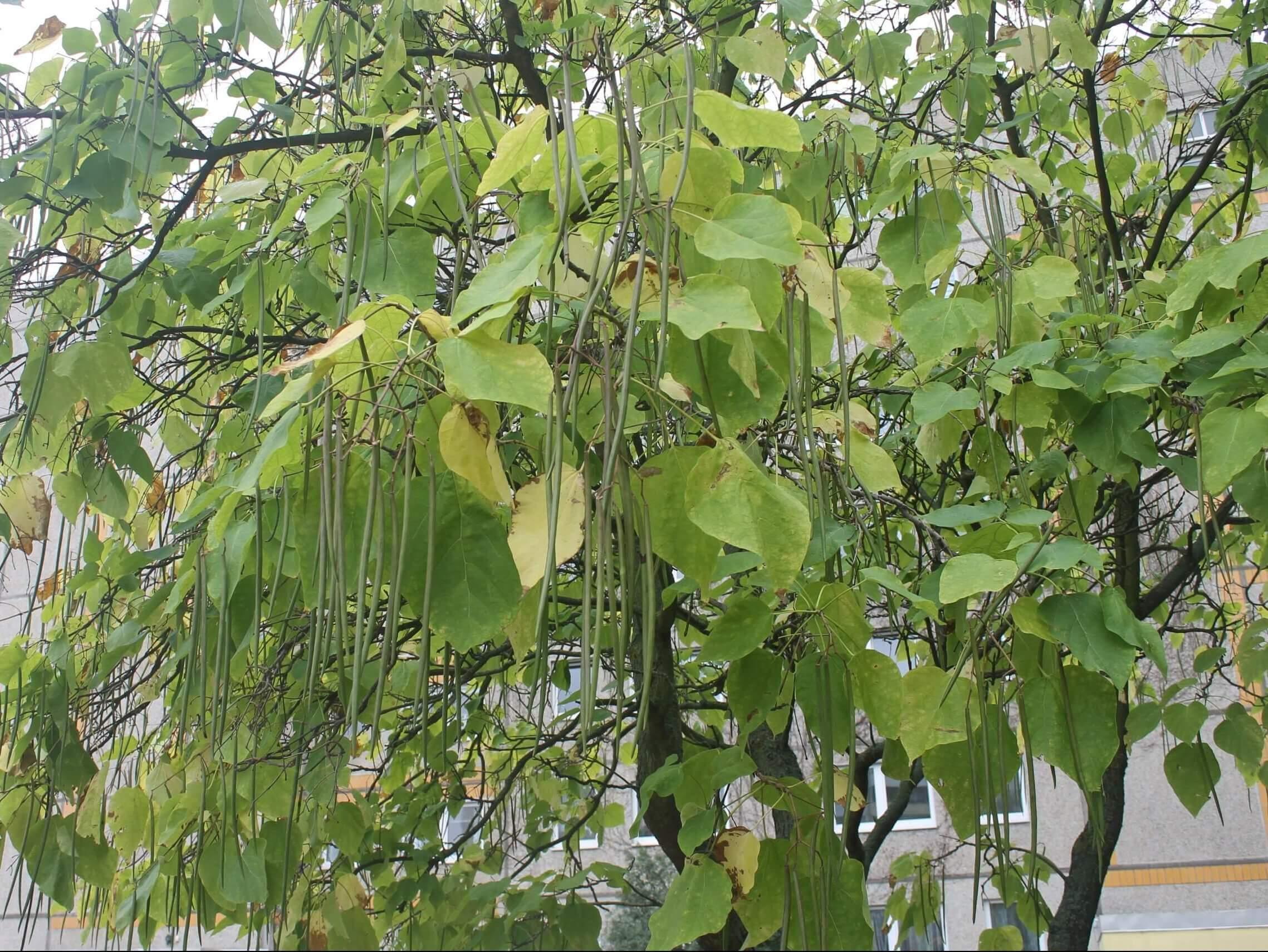 Das Bild zeigt die langen Fruchtkapseln des Trompetenbaumes, die Anfang September noch im grünen Zustand sind. Das Laub färbt sich bereits früh gelb. Hier ein Baum am Familienzentrum im Kosmosviertel.
