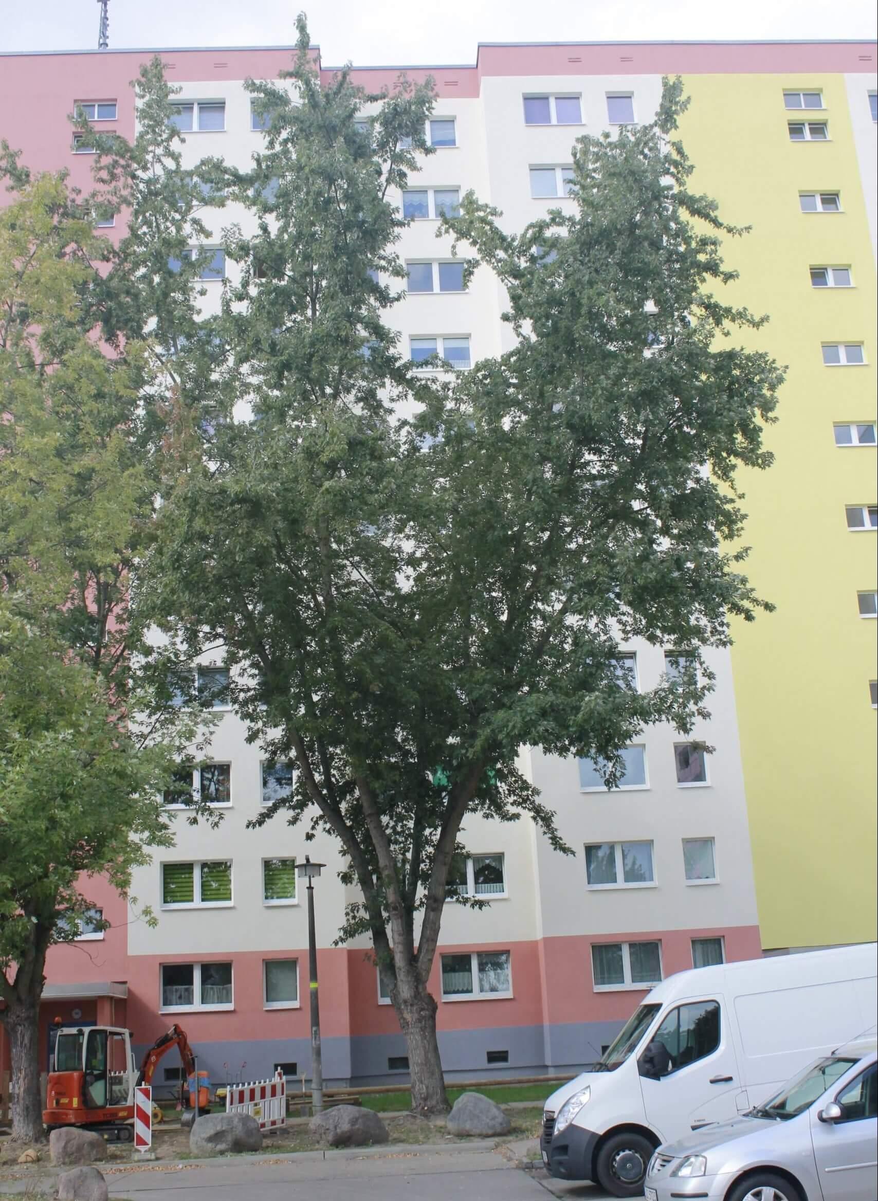 Das Bild zeigt ein Exemplar eines Silber-Ahorns aus einer in Reihe gepflanzten Gruppe an der Ostseite eines Wohnblockes im Kosmosviertel, Zugang Ortolfstraße, unweit des Familienzentrums.
