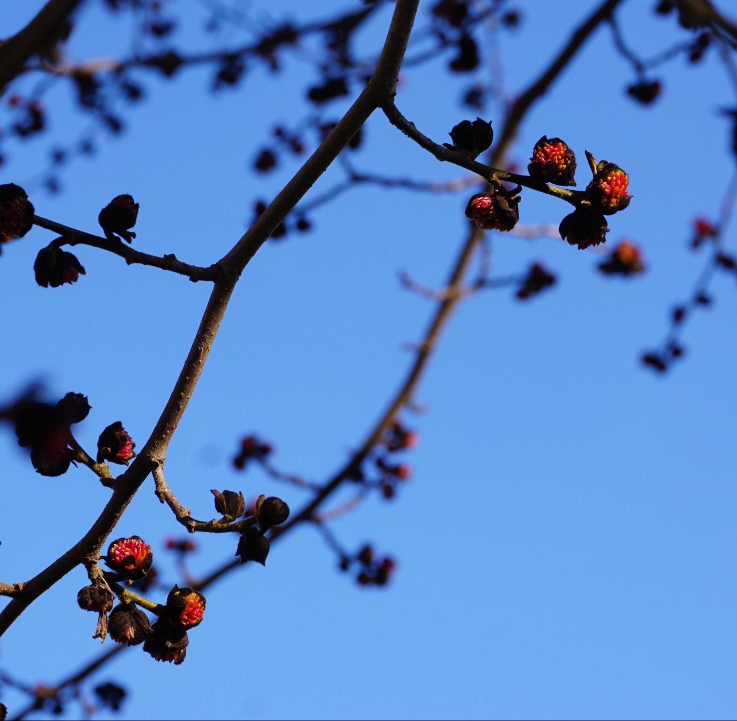Das Bild zeigt die Blüten der Parrotie, wie sie schon Ende Januar aus den Knospen brechen, hier an einem Baum im Kosmosviertel, Januar 2021. Hauptblühzeit ist dann Februar. Dabei ragen rote Staubblätter dicht aus den Blüten.