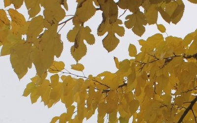 """Weißer Maulbeerbaum / Projekt """"Natur im Kosmosviertel"""""""