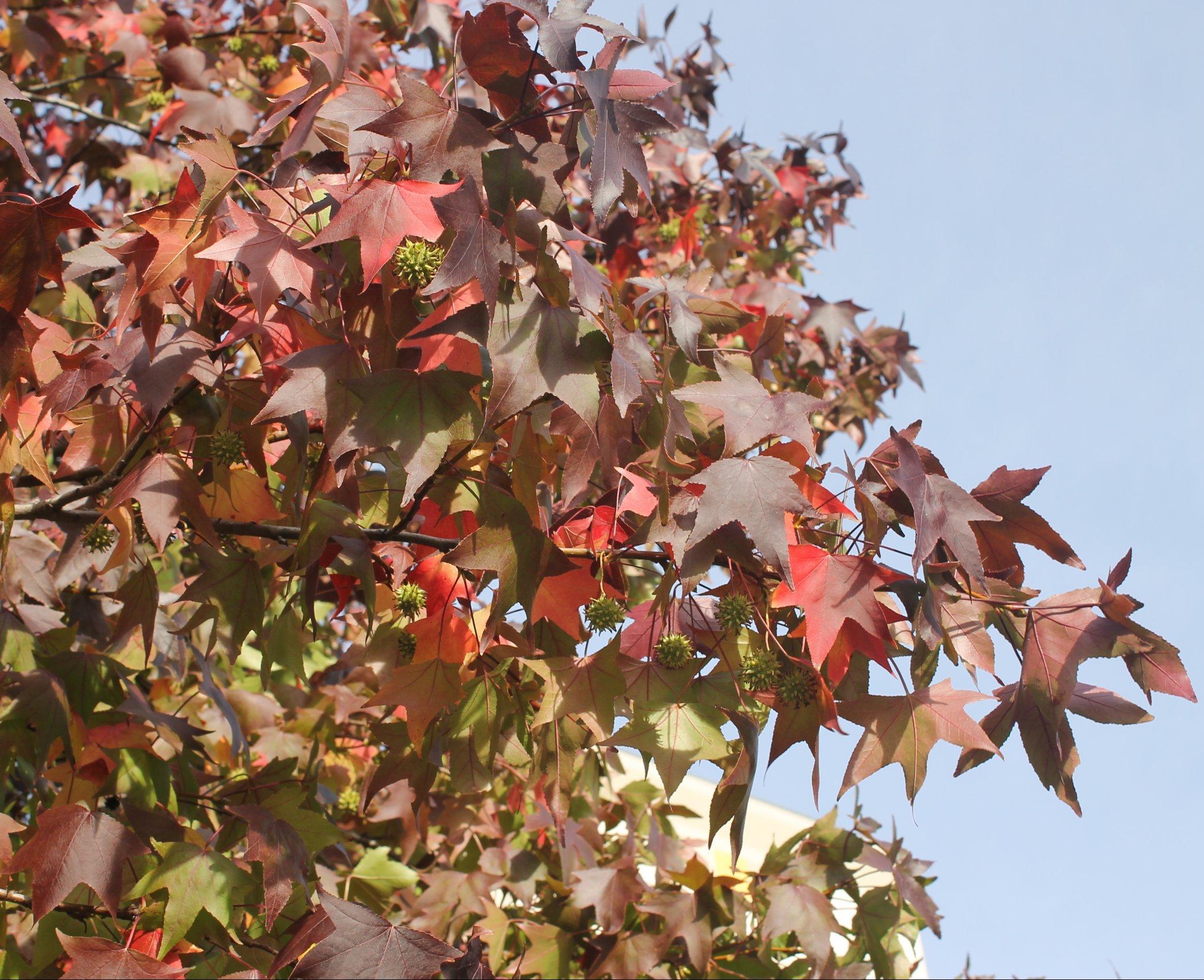 Das Bild zeigt einem Amberbaum, der wie bei der Parrotie eine dekorative Herbstfärbung seines Laubes aufweist. Zugleich sind an diesem Exemplar am Lindencenter stachelige Früchte zu sehen.