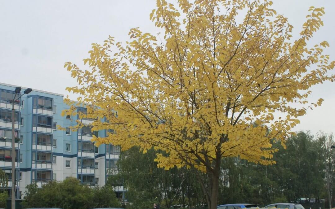 Das Bild zeigt den Weißen Maulbeerbaum an der Venusstraße. Im Oktober ist sein Laub goldgelb gefärbt.
