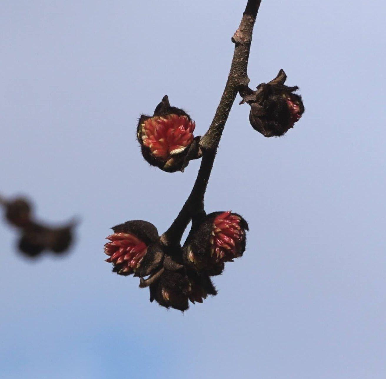 Das Bild zeigt die Blüten der Parrotie, hier an einem Baum im Kosmosviertel Ende Januar 2021. Sie sind an ihren roten Staubblättern, die dicht aus ihnen herausragen, und an ihren samtig-dunkelbraunen Hochblättern erkennbar.