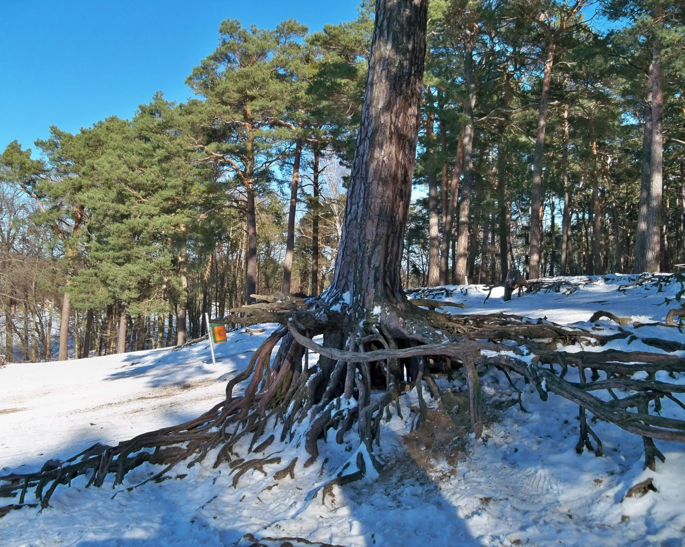 Das Bild zeigt Wald-Kiefern, die sich mit ihrem Wurzelsystem aus horizontalem Geflecht und senkrecht tief gehenden Pfahlwurzeln an den oberen Rand einer aus der Endphase der letzten Eiszeit stammenden Flugsanddüne klammern.