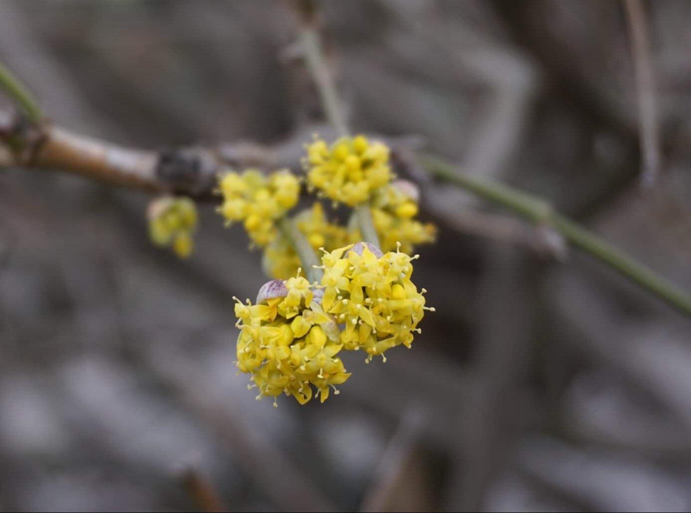 Das Bild zeigt die insgesamt gelb erscheinenden Blütenstände der Kornelkirsche, bestehend aus einer Vielzahl von doldenartig angeordneten Einzelblüten. Die Staubblätter sind jedoch weiß. Hier Mitte Februar 2020 im Kosmosviertel.