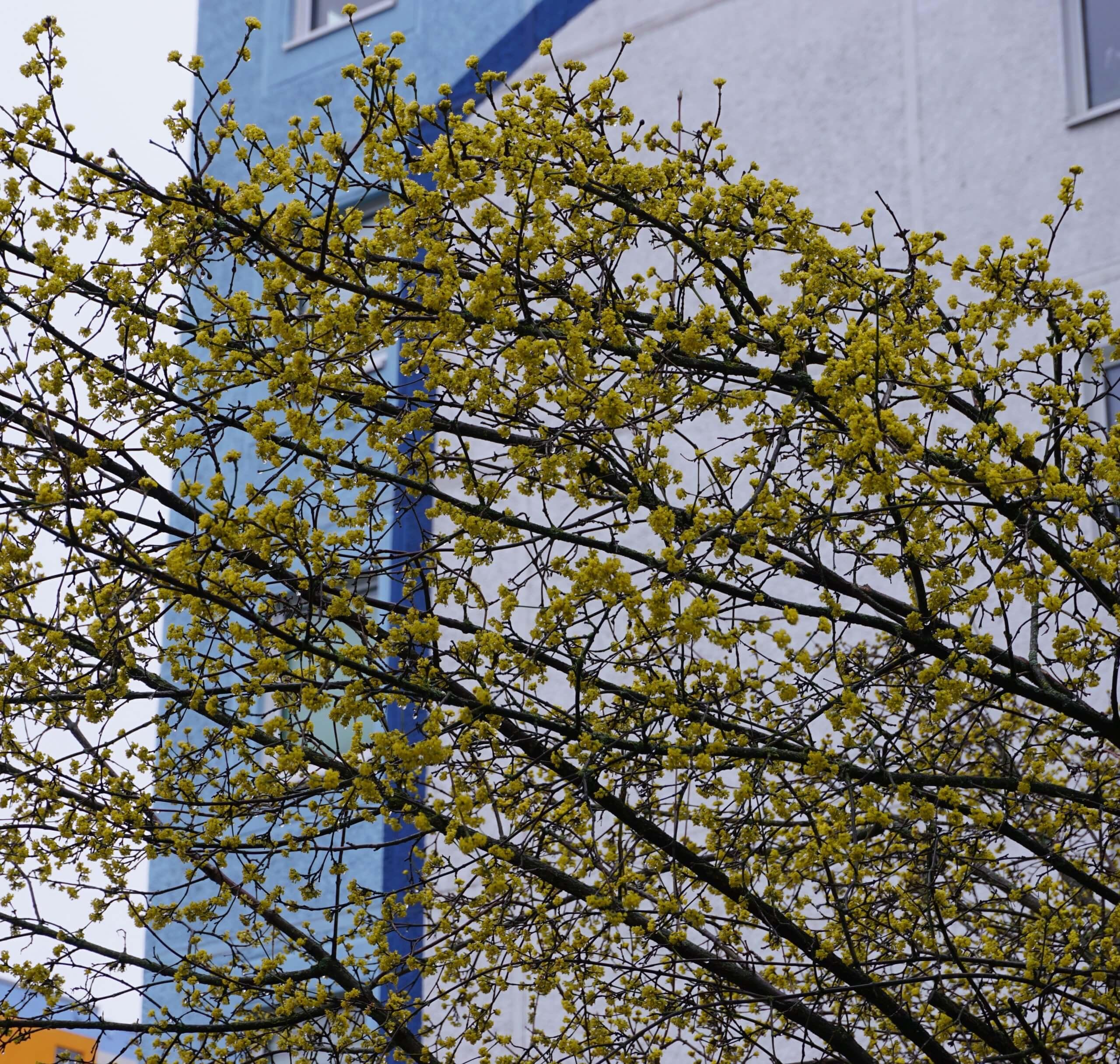 Das Bild zeigt ein in der Blüte stehendes Gehölz einer Kornelkirsche an der Venustraße im Kosmosviertel im Februar 2020. Die gelbe Blütenfärbung ist wie bei der etwas später, im Laufe des März blühenden Forsythie ein Hingucker in der sonst noch kahlen Vegetation des zeitigen Vorfrühlings.