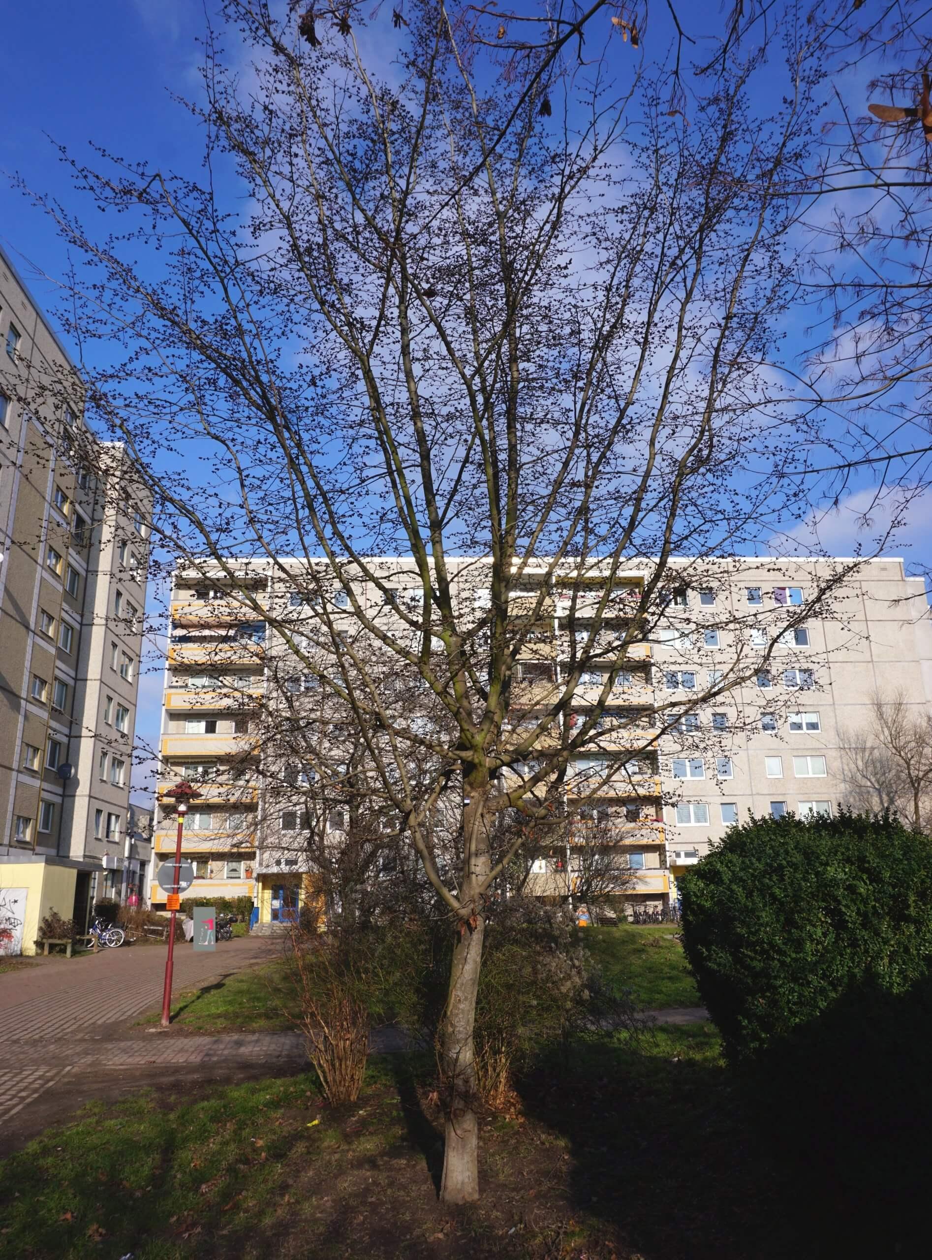 Das Bild zeigt einen Parrotien-Baum, der als Bestandteil der Grünanlage im Innenhofbereich der Anlieger Ortolfstraße im Kosmosviertel zu finden ist. Hier, Ende Januar 2021, sind seine Zweige mit den dunkelbraunen, aufbrechenden Blütenknospen bedeckt. Die Blüte hat schon begonnen.