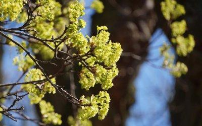 """Ahorn-Arten (Blüte) / Projekt """"Natur im Kosmosviertel"""""""