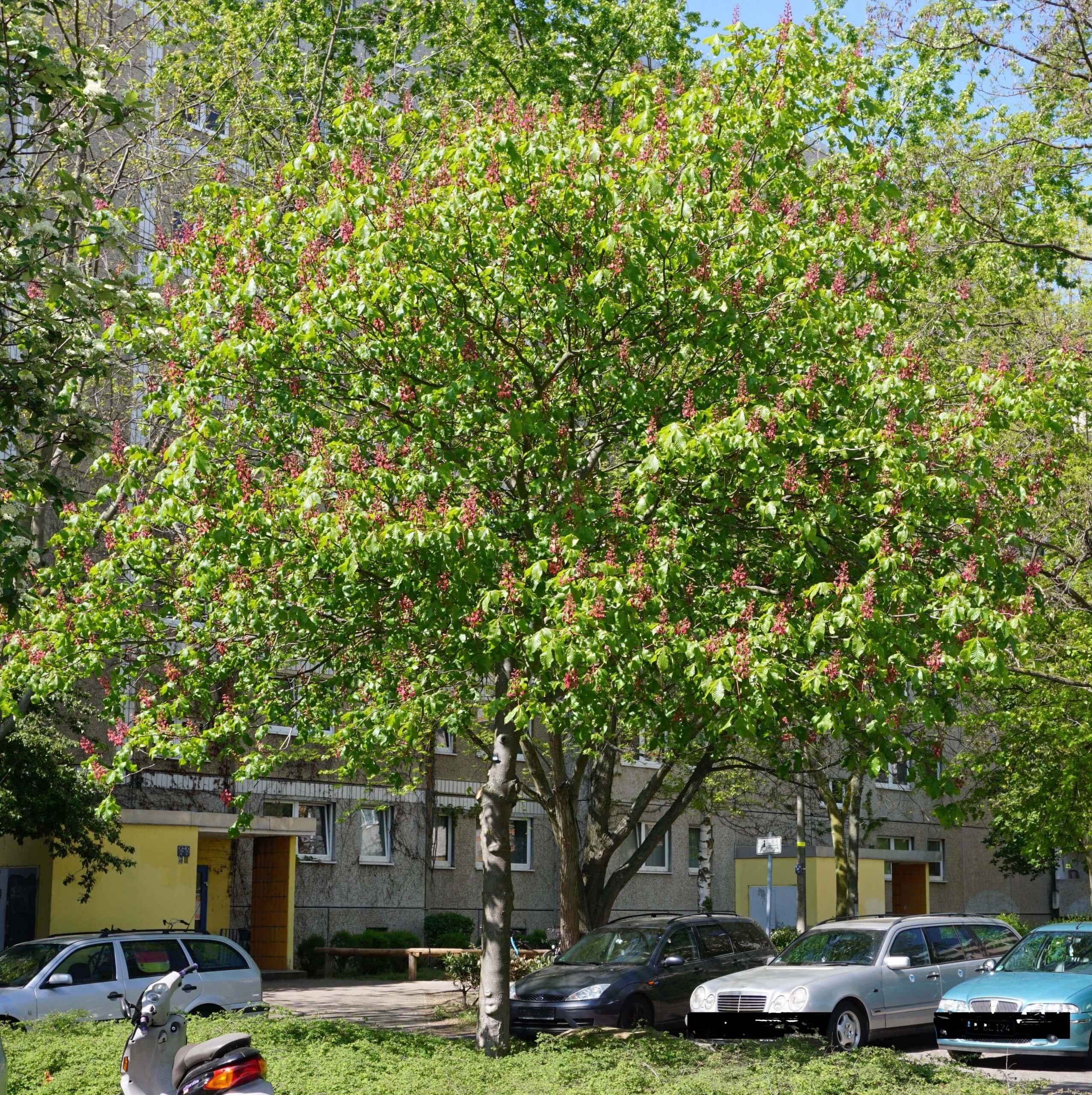 Das Bild zeigt eine Rotblühende Rosskastanie im Innenhof in der Nähe des Bürgerhauses im Kosmosviertel, Altglienicke.
