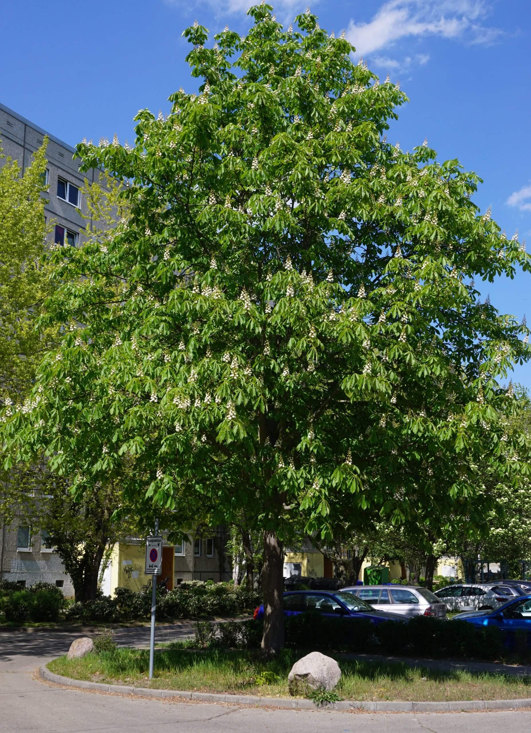 Das Bild zeigt eine weißblühende, gewöhnliche Rosskastanie im Innenhof in der Nähe des Bürgerhauses im Kosmosviertel, Altglienicke.