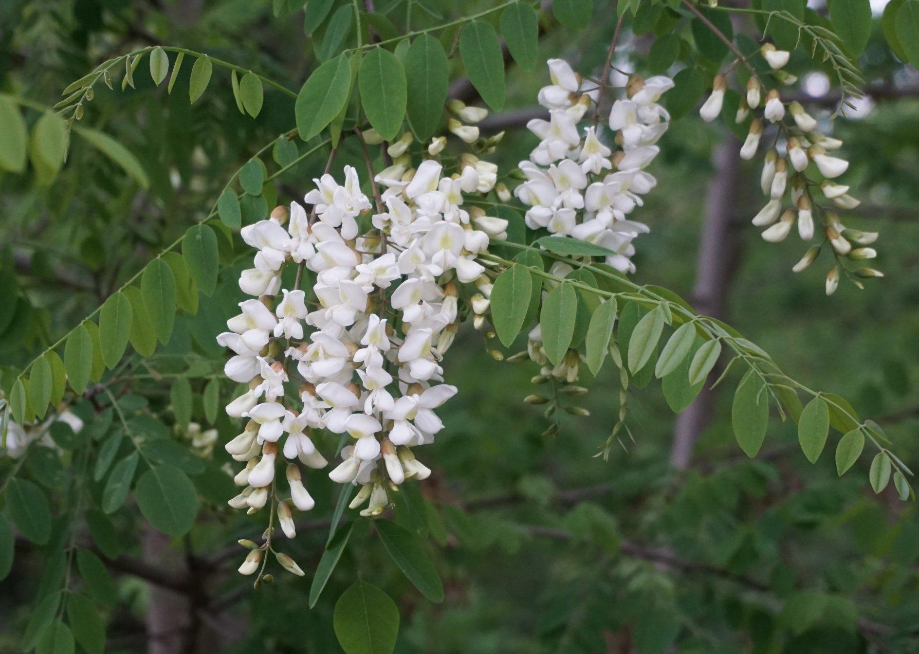 Das Bild zeigt die traubenartigen Blütenstände der Robinie aus weißen Schmetterlingsblüten.