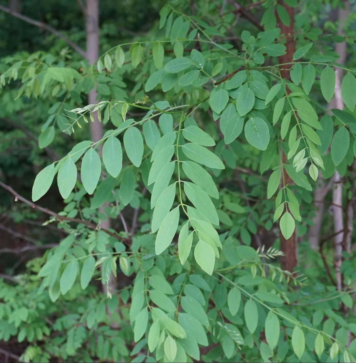Das Bild zeigt die Fiederblätter der Robinie mit zweizeilig ansitzenden elliptisch geformten Fiederblättchen.