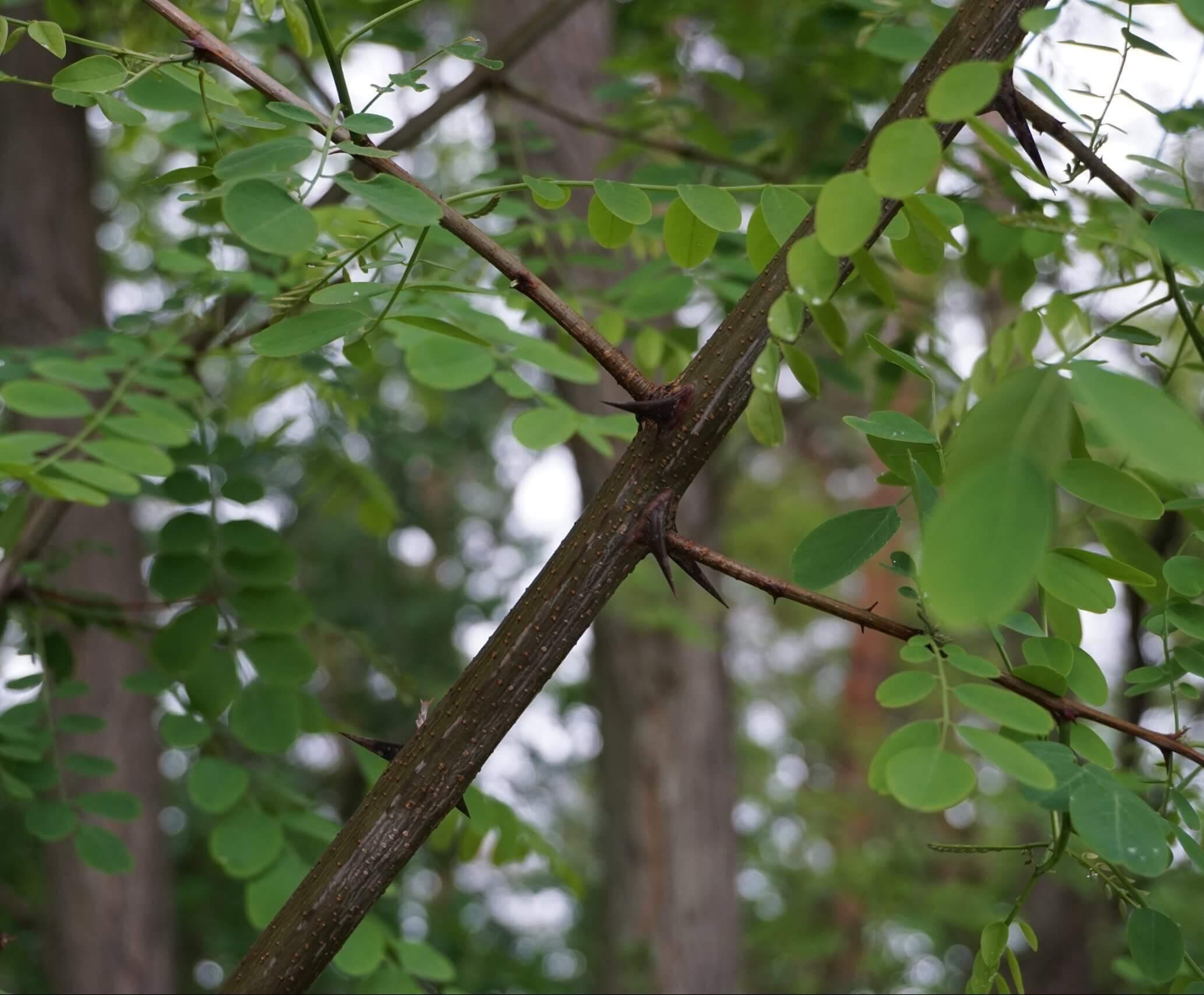Teils kräftige Dornen sitzen bei der Robinie an jungen Pflanzen auch in den Achseln von Verzweigungen. Hier bei Robinien an der Straße Grüne Trift am Walde in Köpenick.