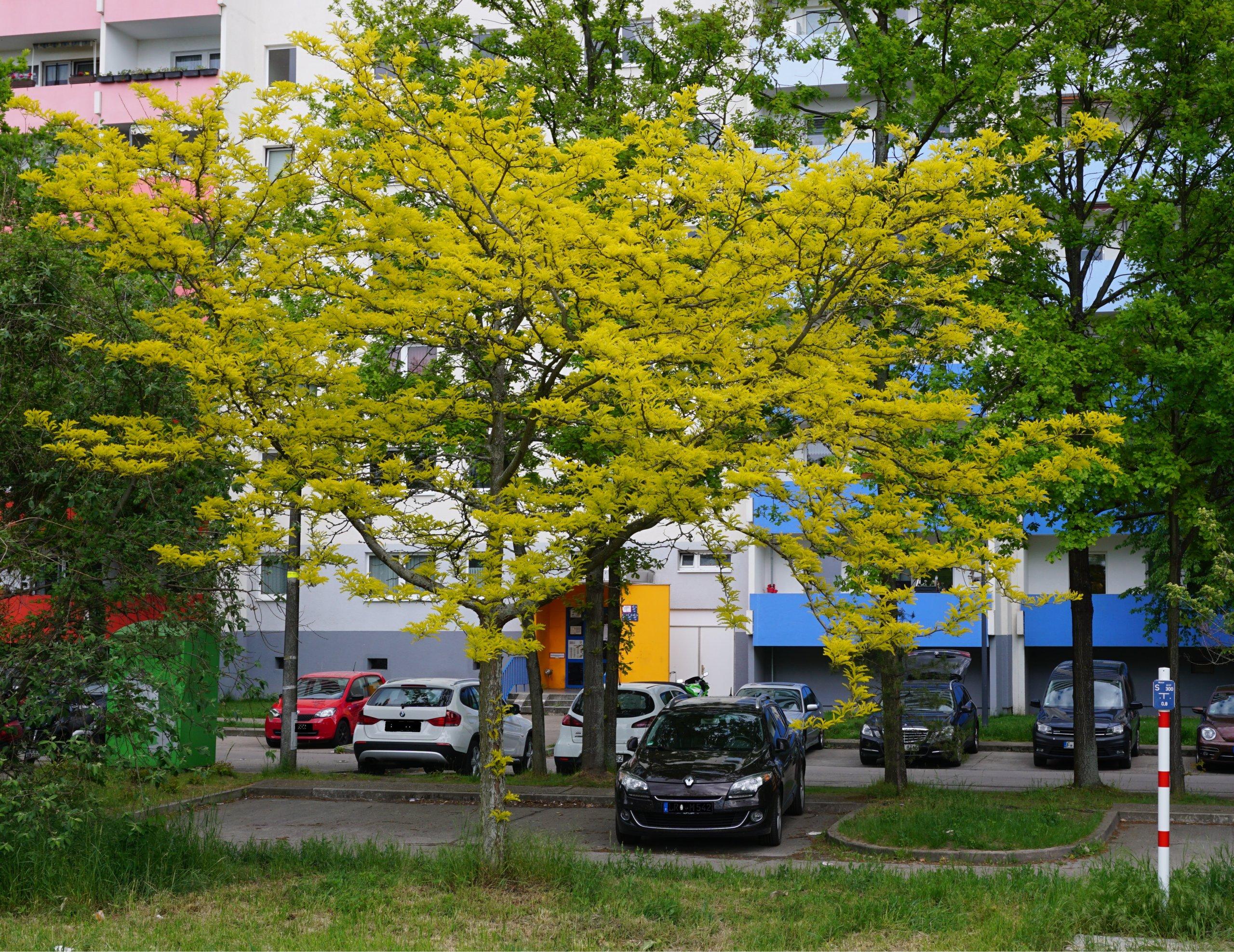 Das Bild zeigt das gelbgrüne junge Laub einer Gleditschie an der Schönefelder Chaussee am Kosmosviertel im Mai.