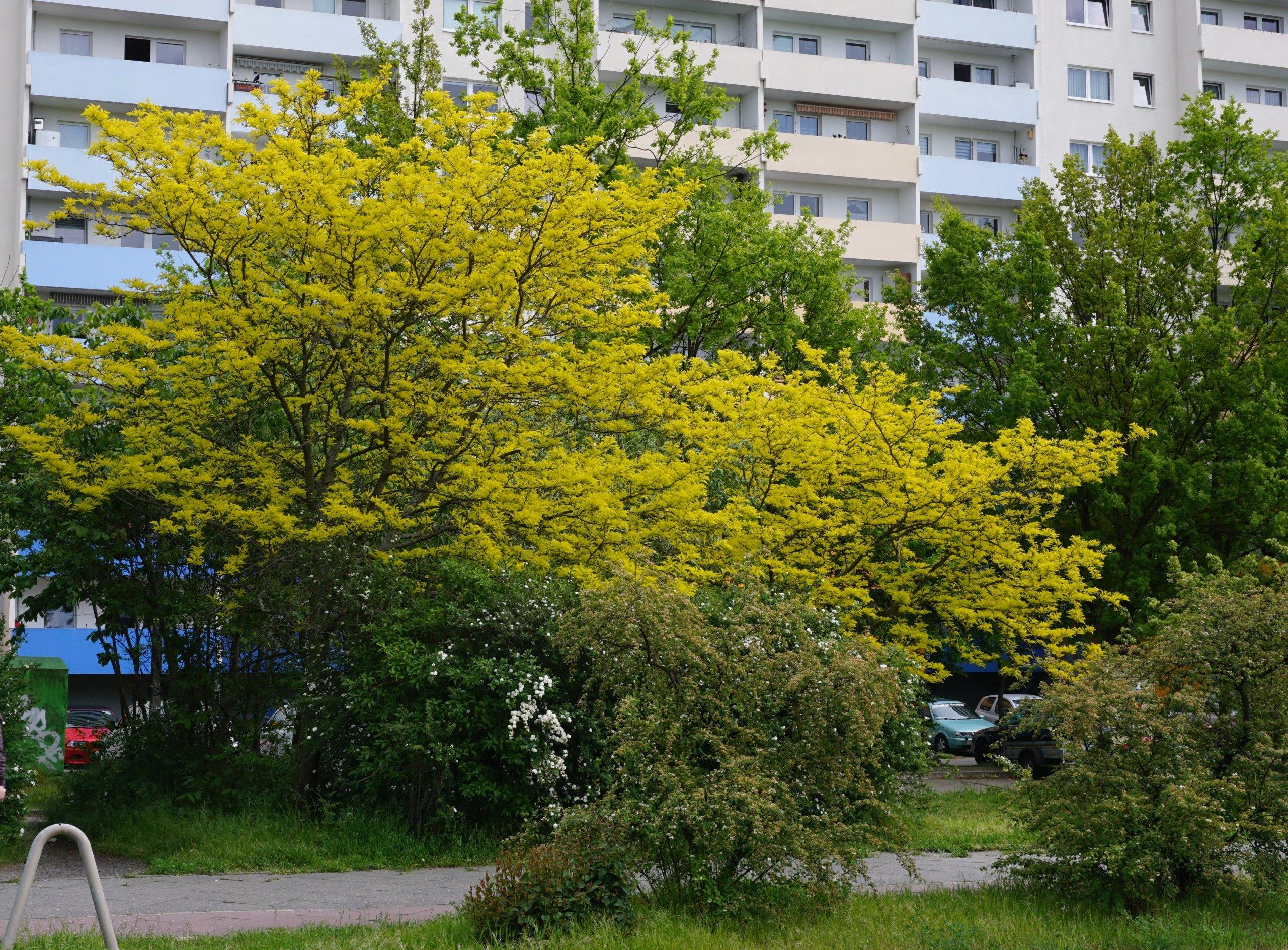 Das Bild zeigt das gelbgrüne junge Laub zweier Gleditschien an der Schönefelder Chaussee am Kosmosviertel im Mai.