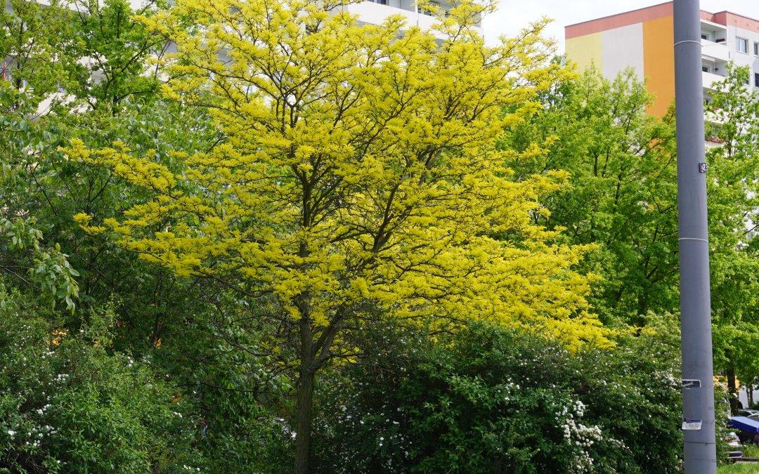 """Gleditschie vom Mai bis zum Herbst / Projekt """"Natur im Kosmosviertel"""""""
