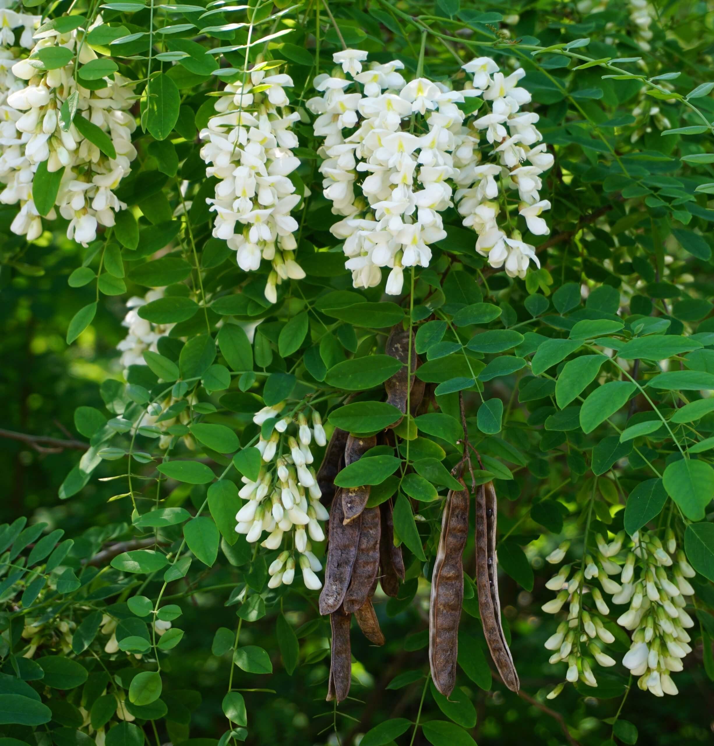 Das Bild zeigt die vorjährigen Fruchthülsen an einer Robinie, die oft bis über den Winter an den Bäumen hängen bleiben sowie die neuen diesjährigen Blütentrauben. Hier an einem Exemplar in den Müggelbergen, Juni 2021.